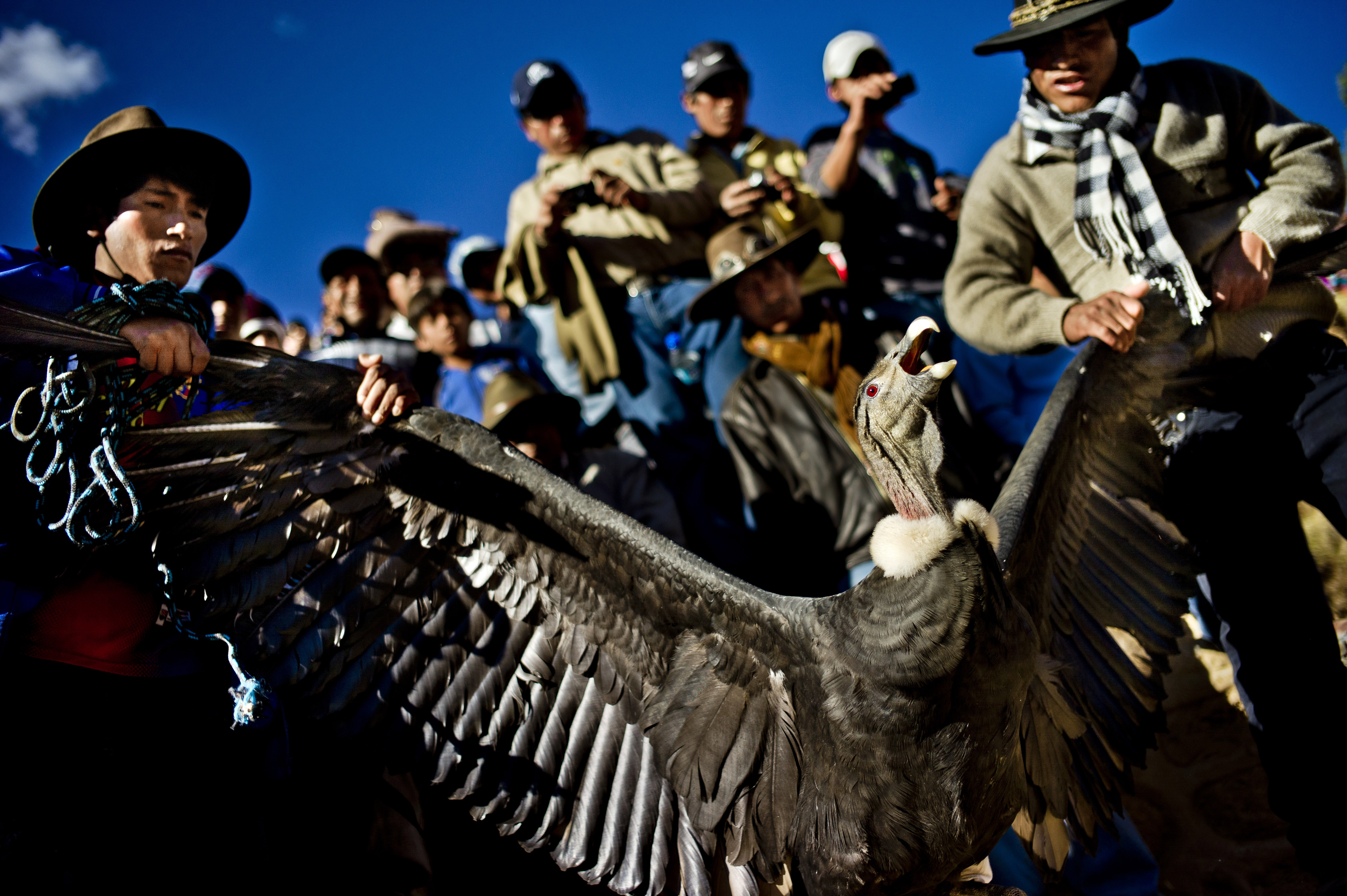 Condors, like this one seen in its native Peru, have a wingspan greater than 9 feet and razor-sharp beaks.