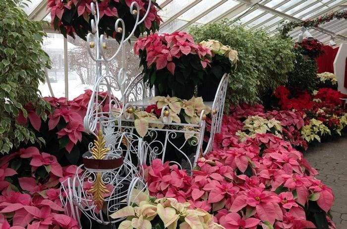 Botanical Gardens Poinsettia Show lends color to the season.