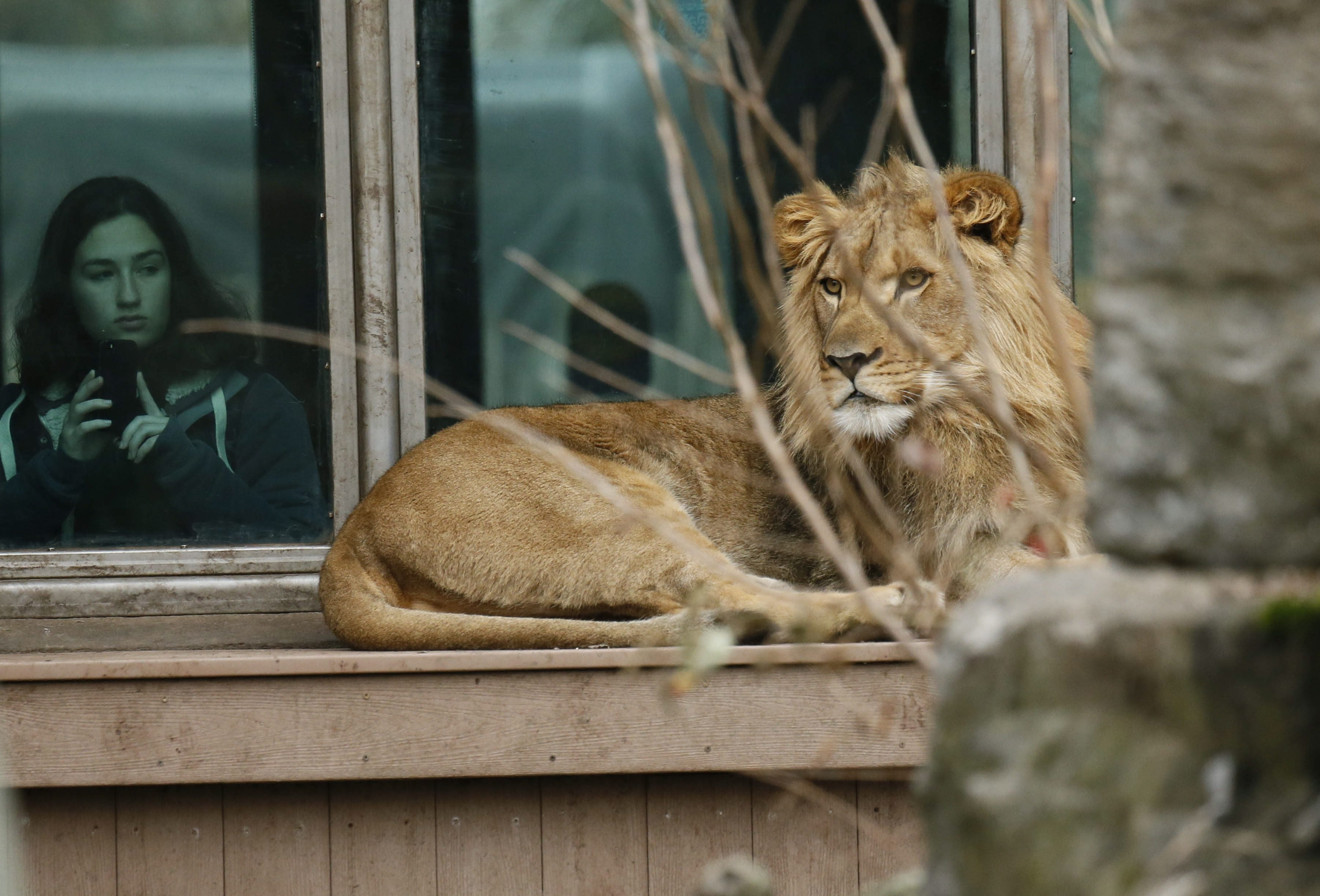 Tiberius lounges in the habitat at the Buffalo Zoo after moving from Rochester's Seneca Park Zoo on a breeding mission.