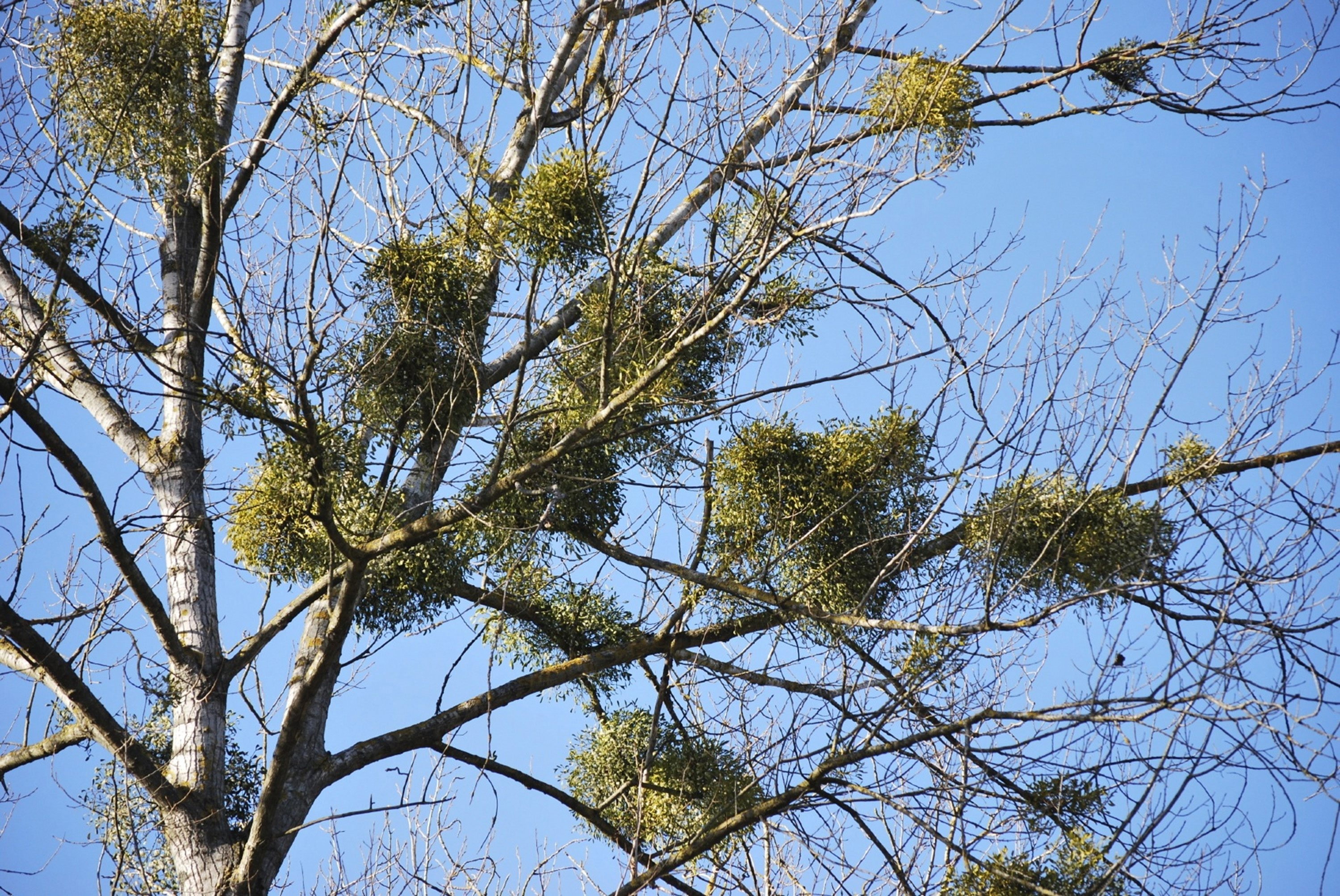 The common holiday mistletoe known as American (or oak) mistletoe is harvested in the wild mostly from Oklahoma and Texas to sell, but in America, it's native to about 26 states.