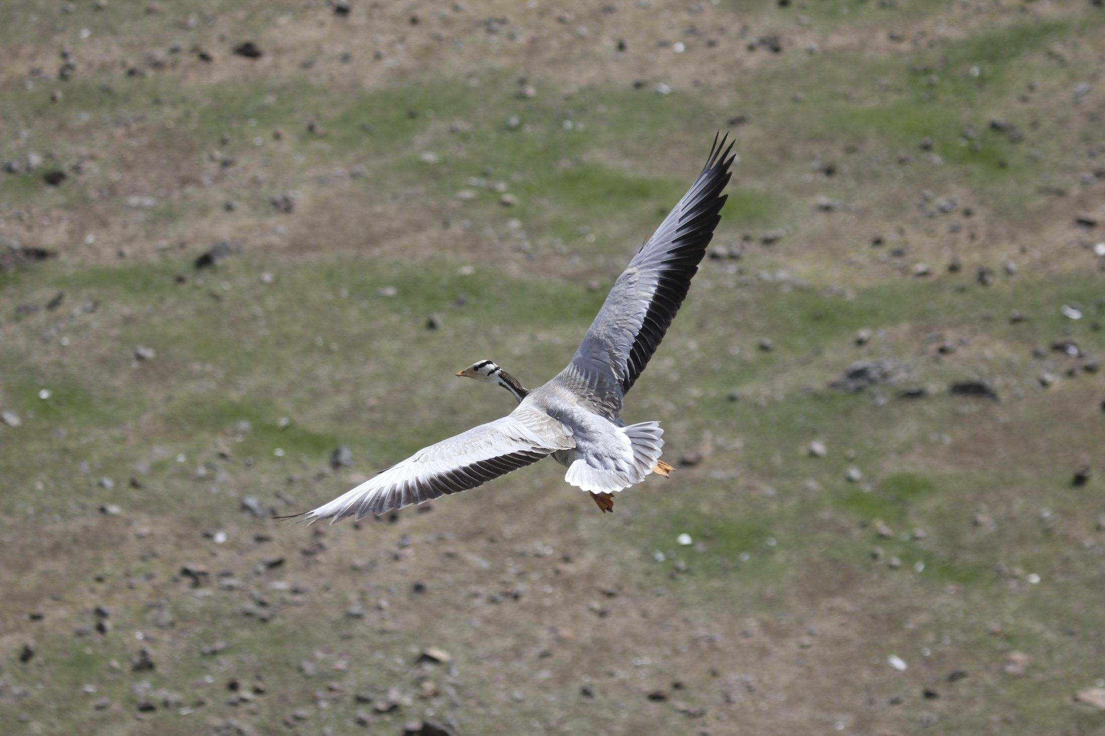 A bar-headed goose flies close to the terrain on its round-trip migration, enabling it to avoid thin air and conserve energy.