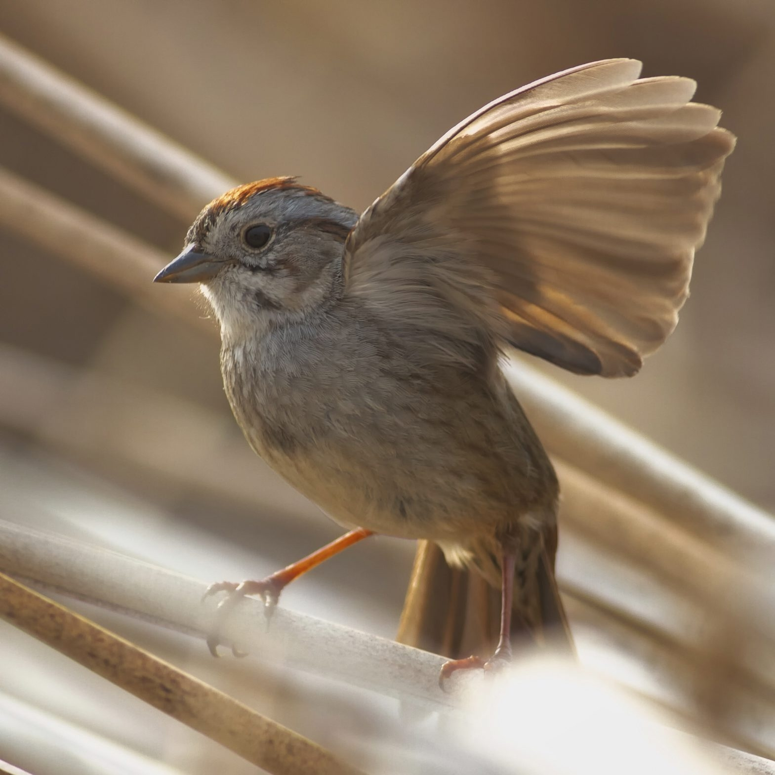 The whistles and trills of a swamp sparrow's song take on different meanings, researchers say.