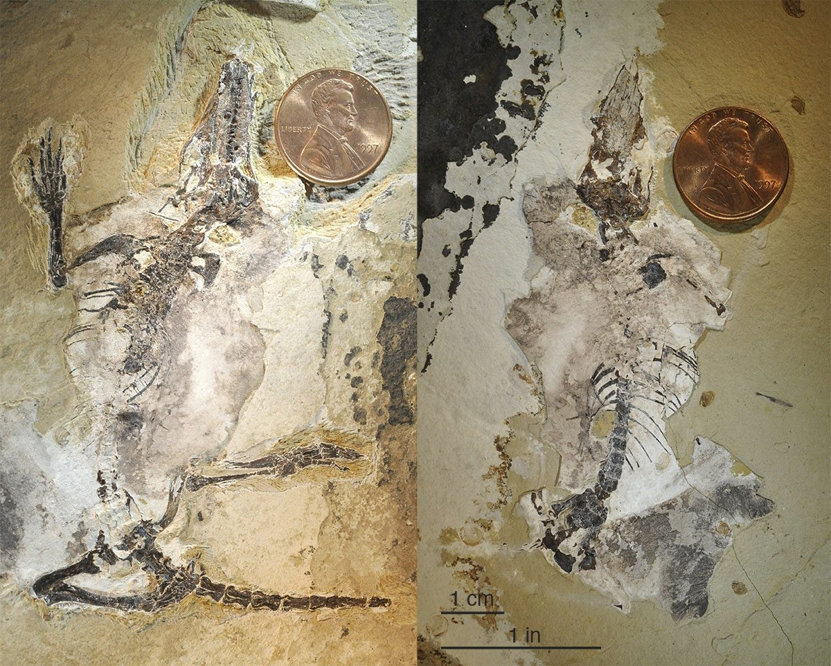 A fossil of Agilodocodon scansorius, with its sprawling limbs and large claws, was preserved in a slab of rock.