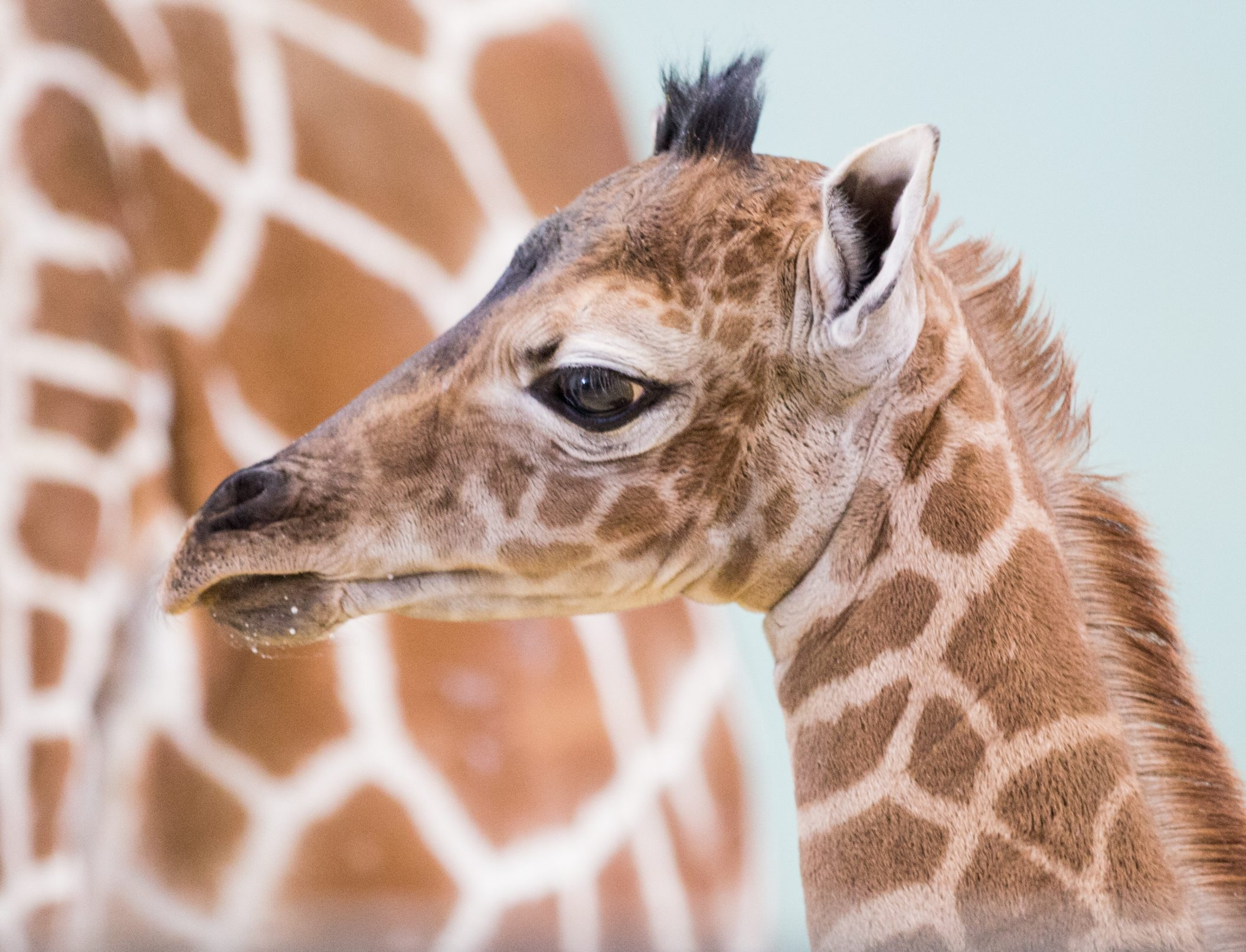 The Buffalo Zoo's newest baby giraffe - Zuri - was born on Saturday.