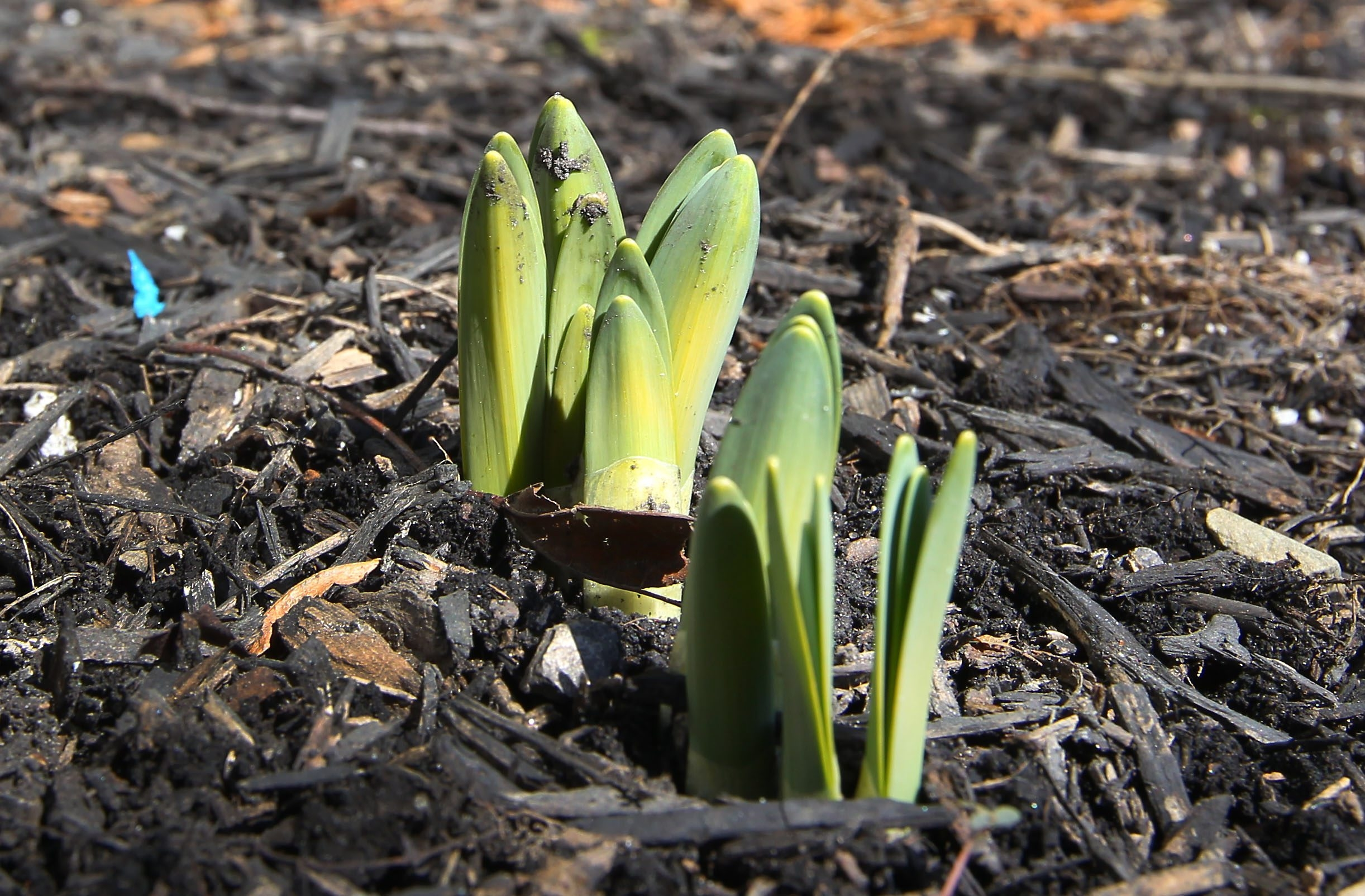 Daffodils start to break through the multch in Tonawanda Thursday, March 19, 2015.    (Mark Mulville/Buffalo News)