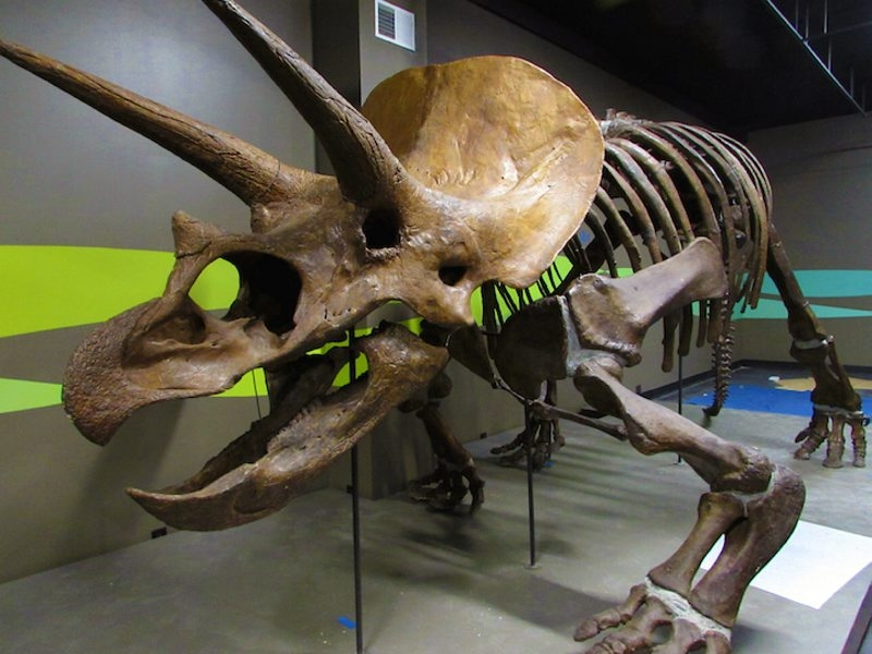 """A triceratops in the Buffalo Science Museum's """"Rethink Extinct"""" exhibit."""