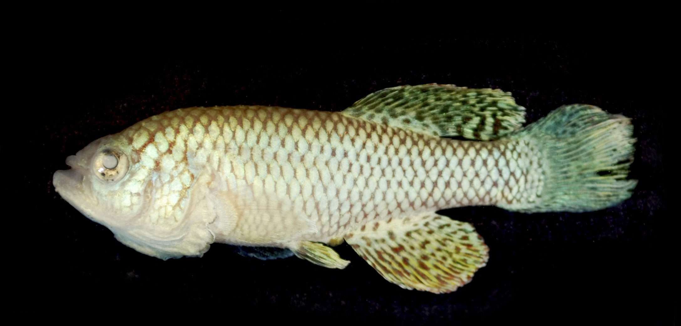 An undated handout photo of a 5-month-old killifish, which shows aging much like that in humans. Turquoise killifish last no more than a few months, giving researchers a faster way of learning more about the mechanics of getting older. (Itamar Harel via The New York Times) -- NO SALES; FOR EDITORIAL USE ONLY WITH STORY SLUGGED SCI FISH AGING BY CARL ZIMMER. ALL OTHER USE PROHIBITED.