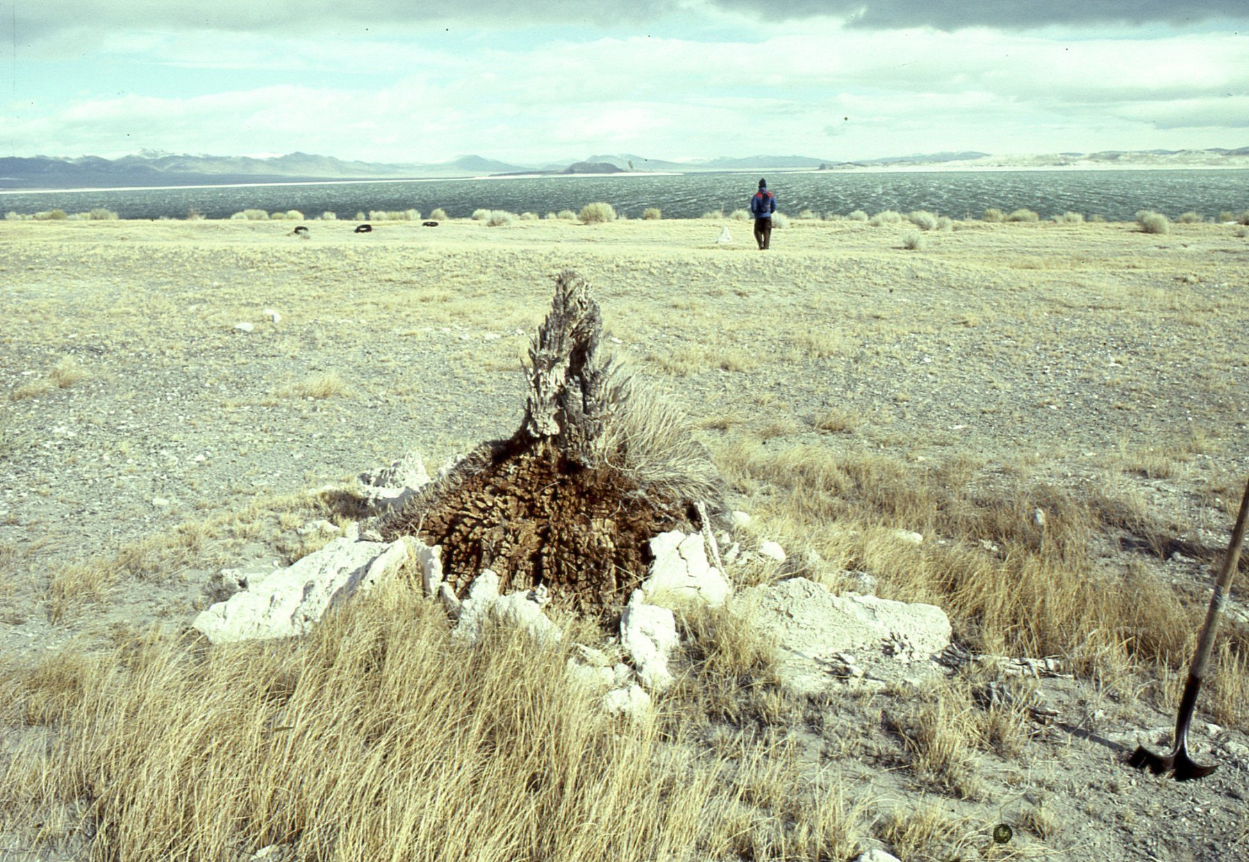 This tree stump rooted on the shorelands of Mono Lake in the Sierra Nevadas grew during severe droughts. California's current drought is in its fourth year, but new research indicates that the state and the rest of the West had ancient megadroughts that lasted decades and sometimes two centuries.