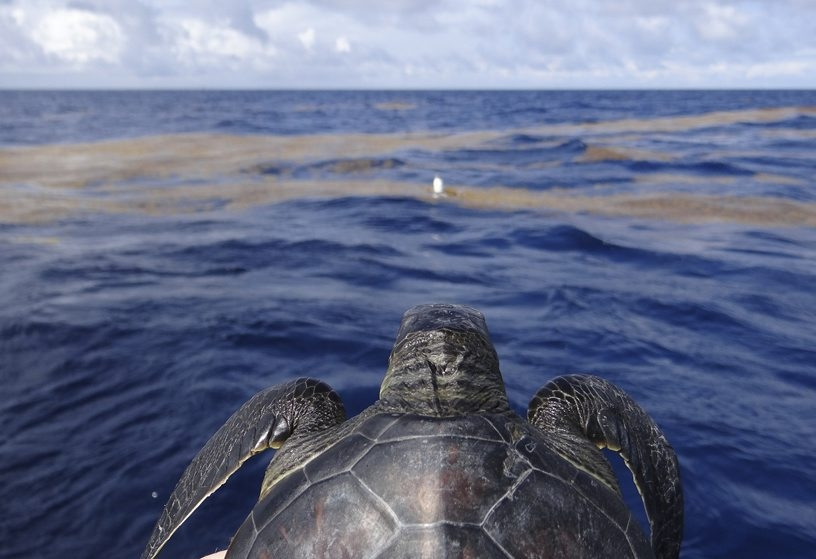 Researchers used solar powered tags to track 44 toddler turtles in the Gulf of Mexico and discovered they don't merely drift with ocean currents.