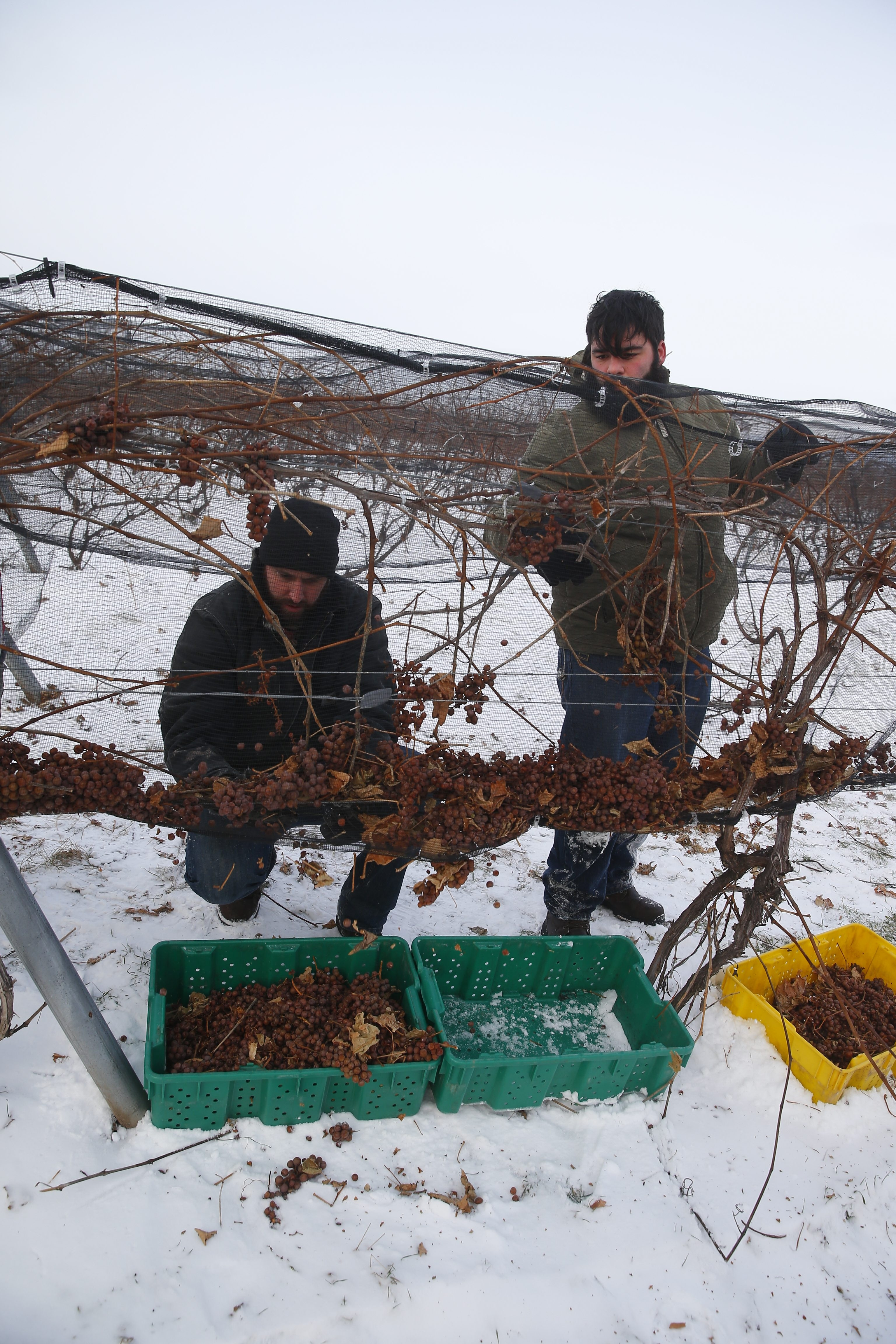 Jonathan Oakes, left, and Zak Krug pick ice wine grapes at Leonard Oakes Estate Winery in Lyndonville in January. The winery's Vidal Blanc Ice Wine again earned a double gold award in a recent competition.