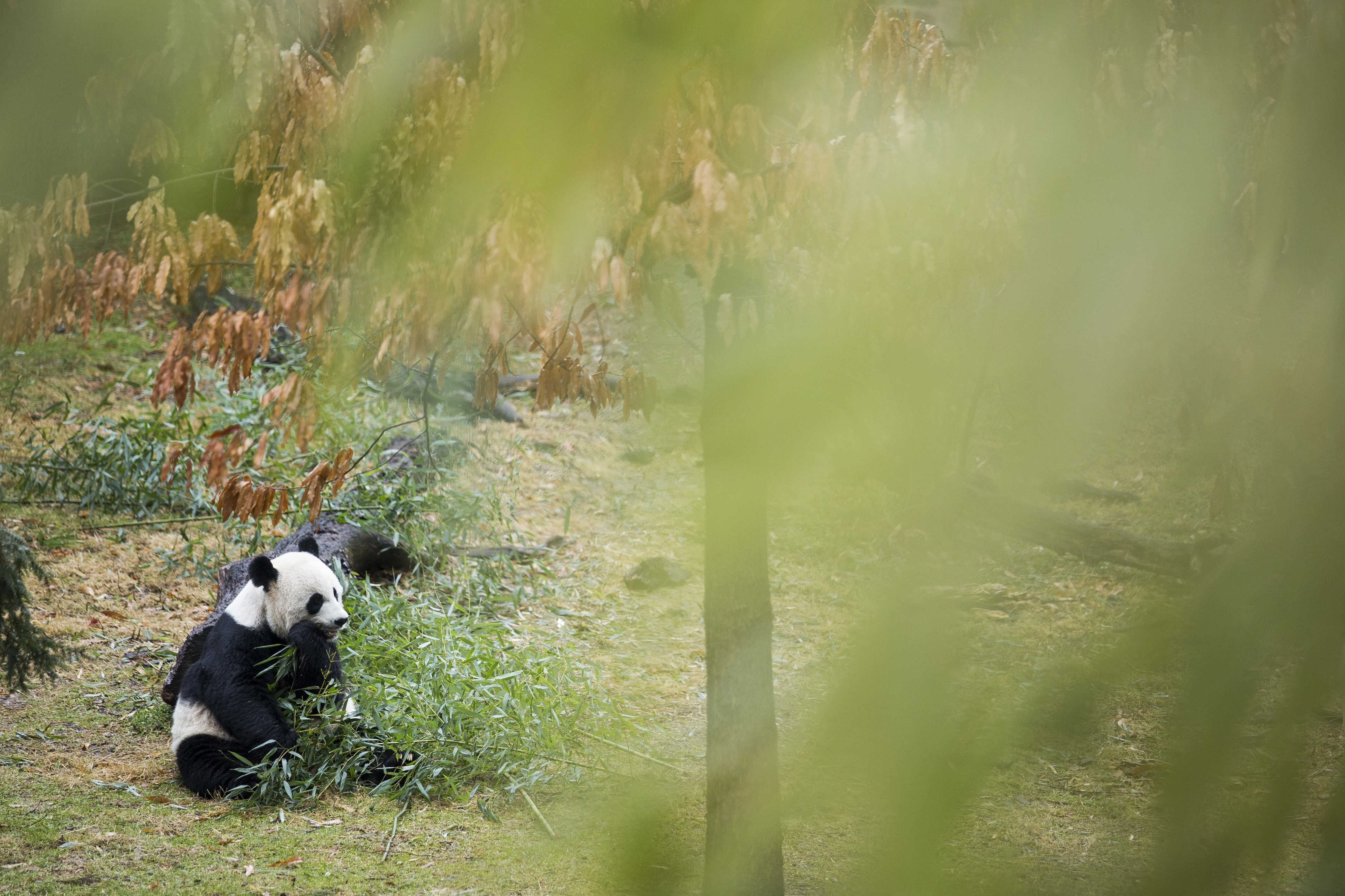 A giant panda munches on bamboo at the Smithsonian National Zoo in Washington, D.C. A genetic analysis of the bacteria living in the animal's gut has found it is best suited to digest meat. The results shocked scientists because bamboo has been the only food source for pandas for more than 2 million years.