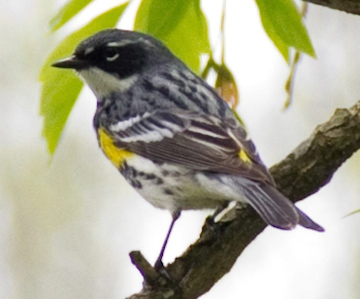 A lovely yellow-rumped warbler.