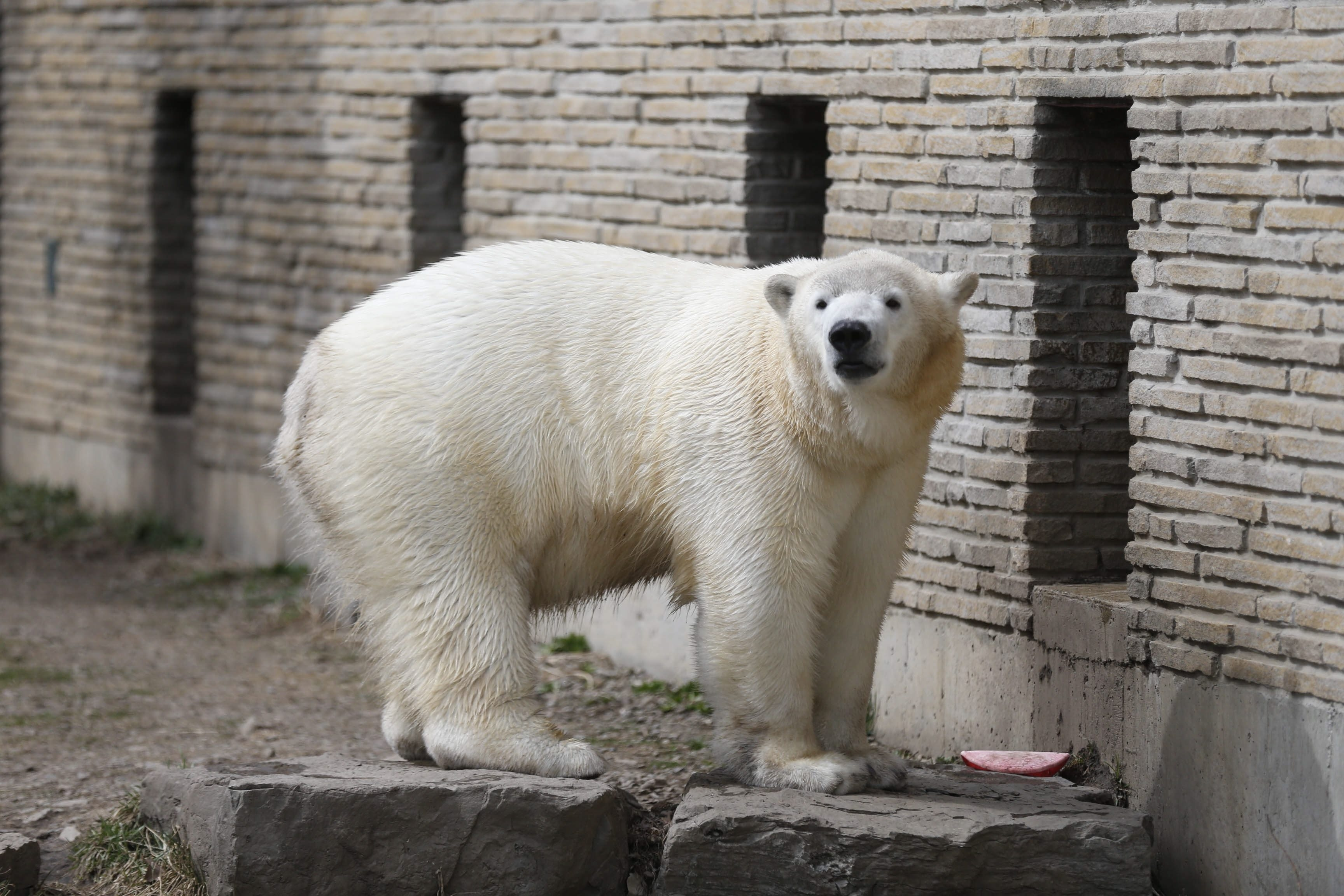 Orphaned polar bear Kali will make his public debut at the St. Louis Zoo on June 6.