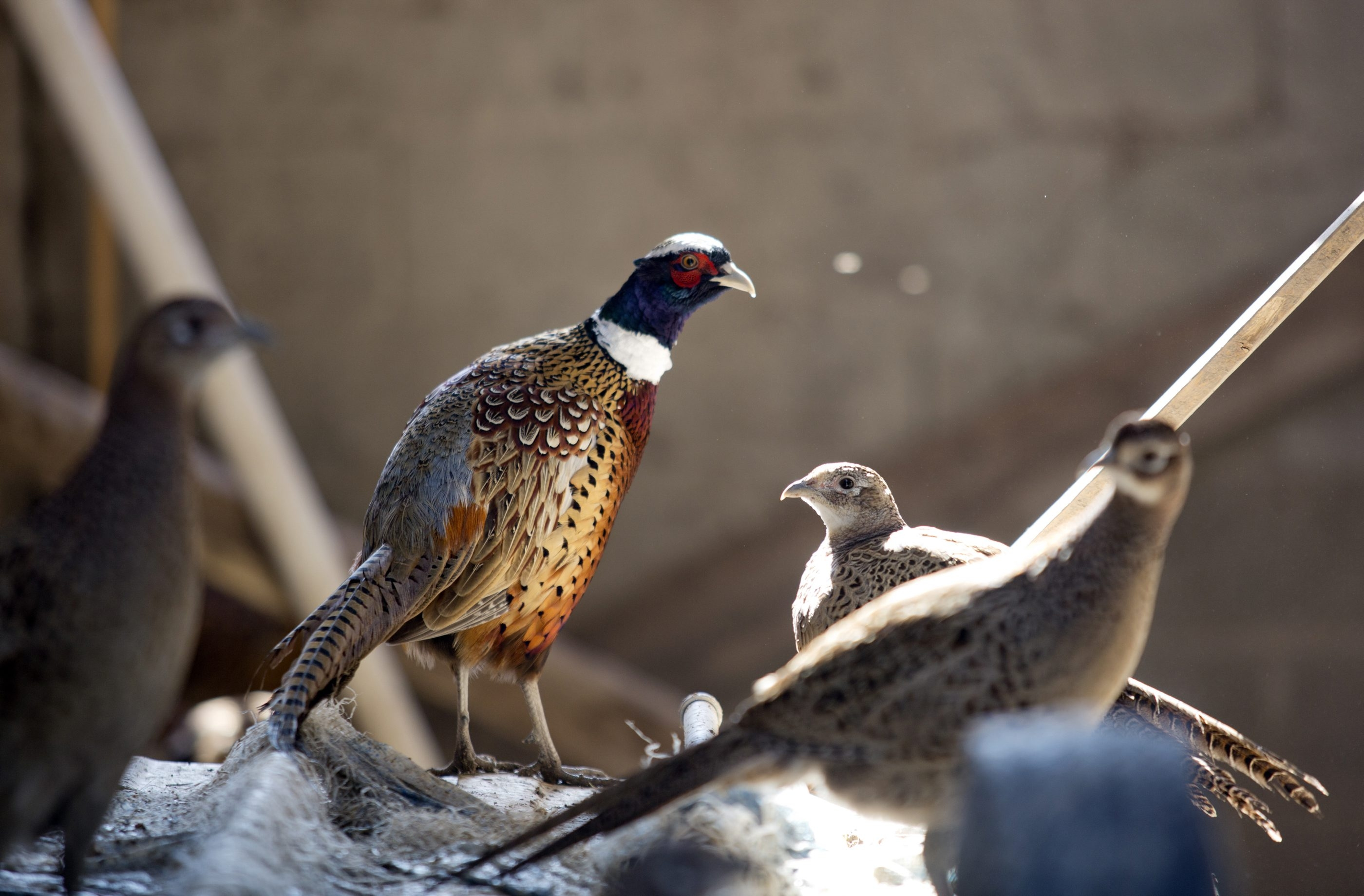 Pheasants, once common in the Hamburg survey, are now rarely sighted in the bird count.