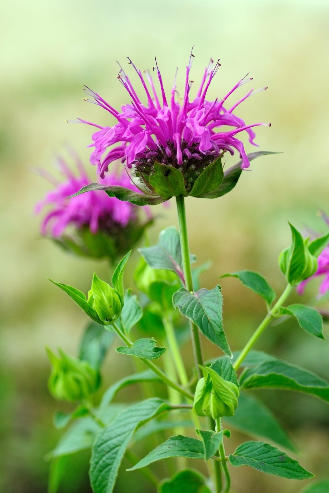 Fresh take: On garden tours, look for popular flowers such as bee balm in striking new displays.