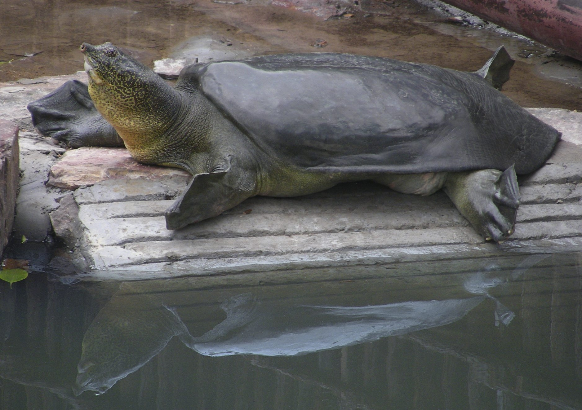 A female Yangtze giant softshell turtle, whose species has been decimated by hunting, pollution and development, lazes in a Chinese zoo. So far she has produced only infertile eggs, but veterinarians hope she will produce a few hatchlings after being artificially inseminated.