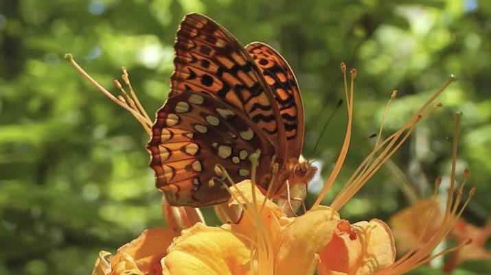 The fanning motion of a butterfly's wings enables the transfer of pollen from the anther to the stigma, allowing the flame azalea to reproduce.