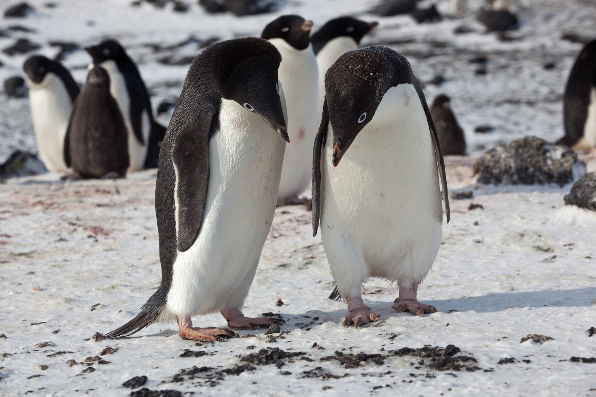 Adelie penguins in the Cape Royds colony, on Ross Island, Antarctica, Jan. 14, 2011. Adelie and emperor penguins rely on the ice of Antarctica to survive, and continued warming of the globe has put these animals at direct risk. (Andy Isaacson/The New York Times)