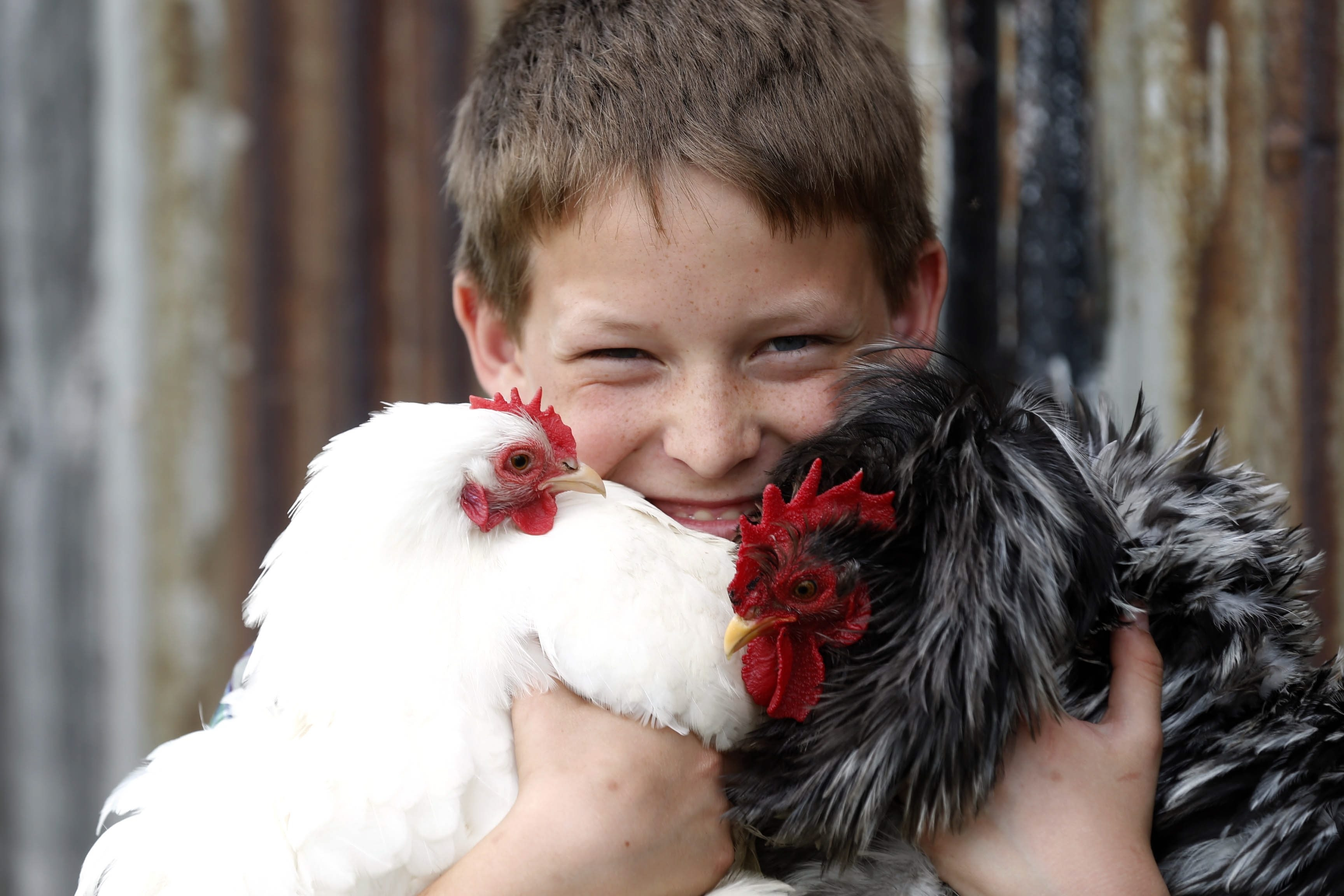 Wade Richardson, a 13-year-old poultry breeder from North Collins, NY on Friday, May 29, 2015.  (Robert Kirkham/Buffalo News)