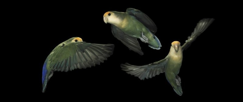 Lovebirds can rapidly rotate their heads while flying, enabling them to maneuver through dense forests.