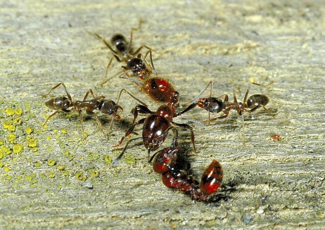 Three Argentine ants, which are thought to spread disease, attack a New Zealand native ant, center.