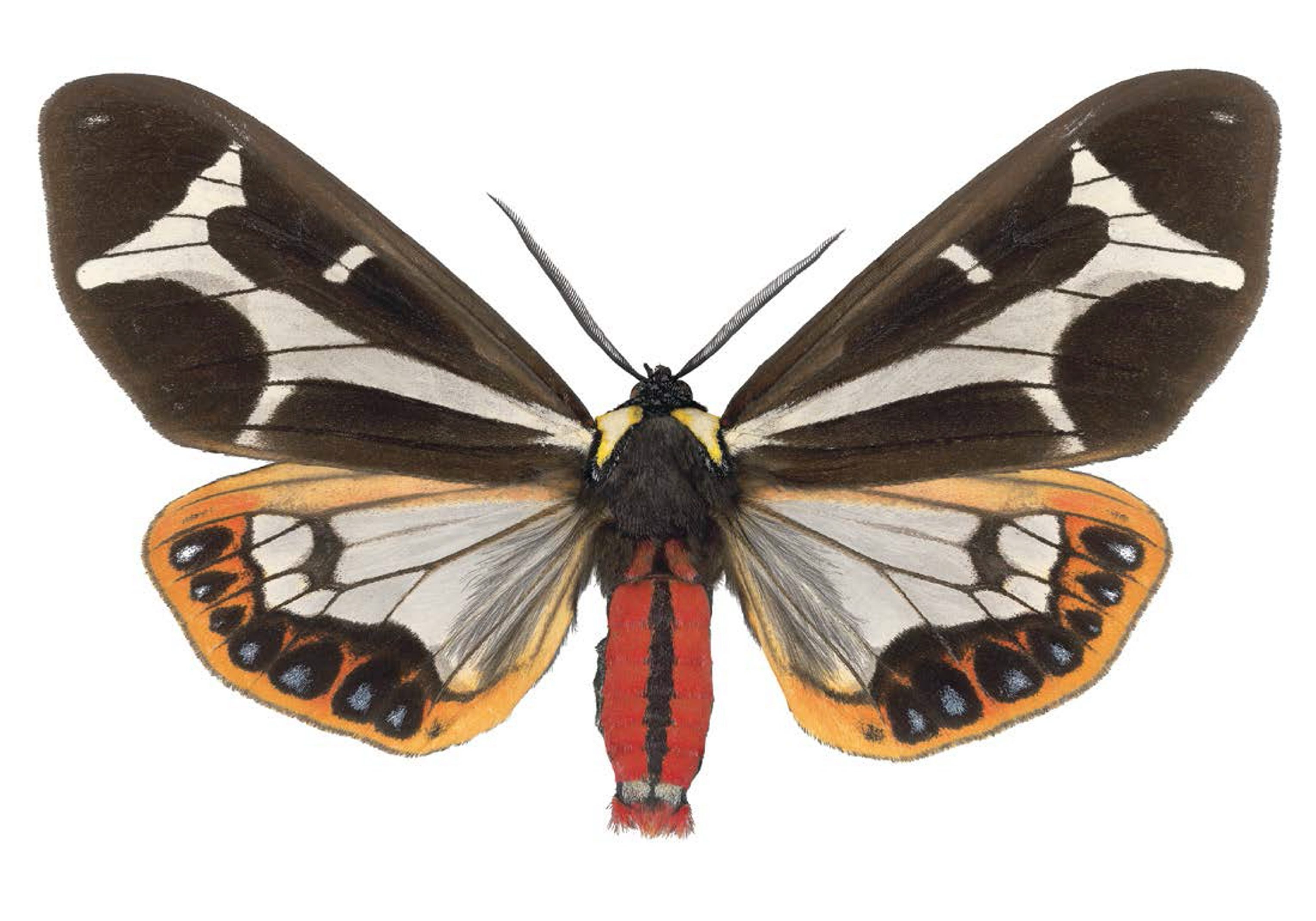 """""""Dysschema mariamne ma,"""" a high-resolution scan of a moth, is on view in Indigo Art's exhibition """"Mothing: Life Beyond the Edge of Awareness."""""""