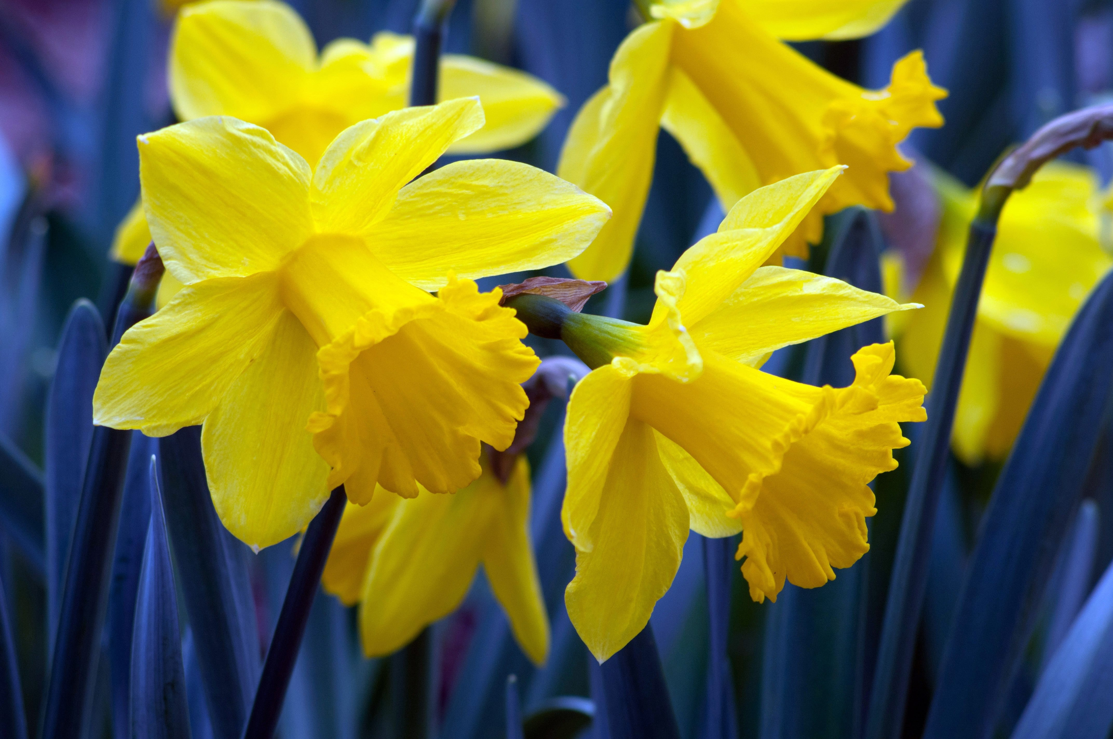 For a colorful spring garden nows the time to plant bulbs the narcissus golden harvest is an old timer nearly 100 years old izmirmasajfo
