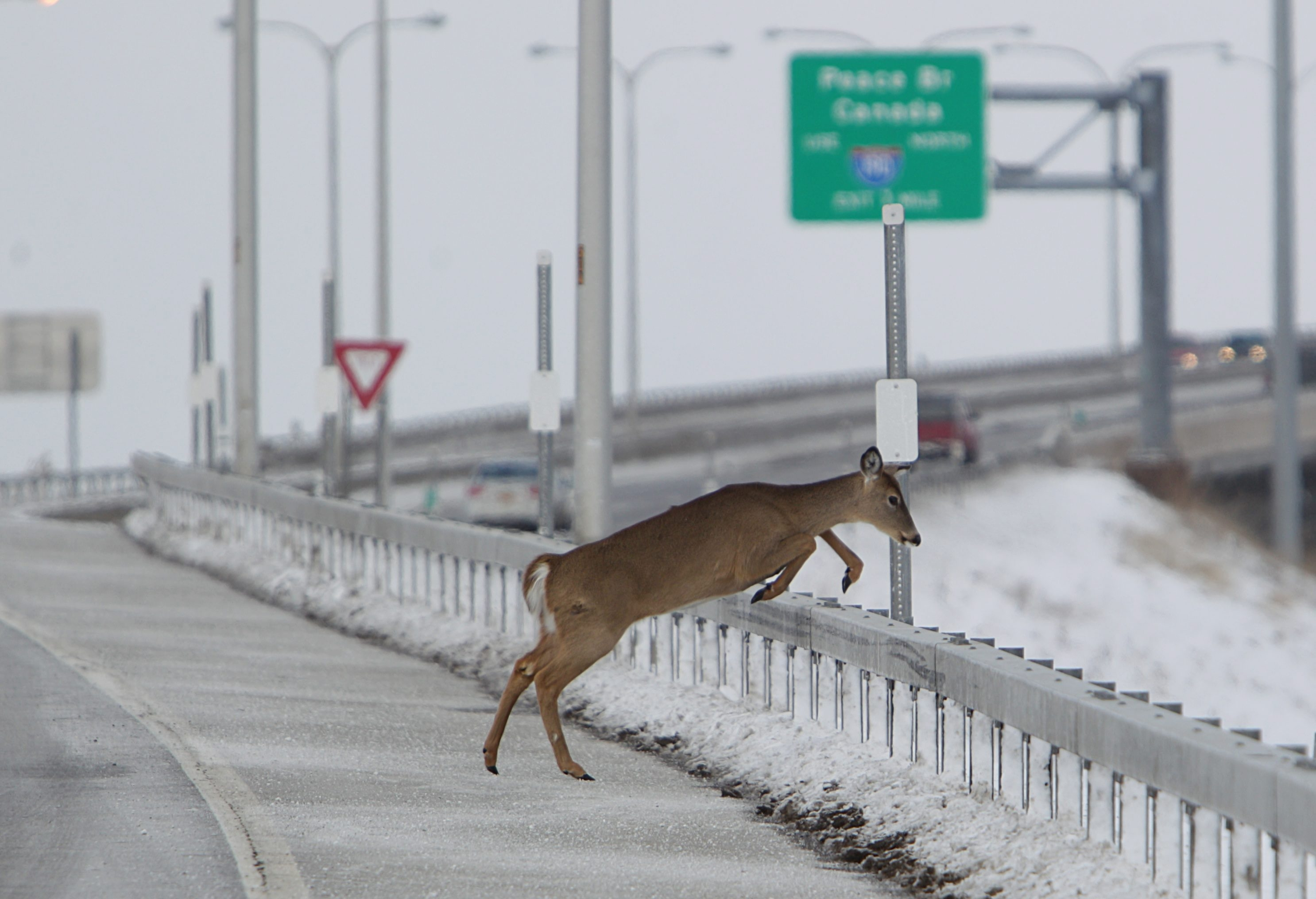 Vehicles colliding with or avoiding animals – mostly deer – account for about twice as many accidents each year in New York State as the combined total of alcohol use, falling asleep at the wheel and drugs.