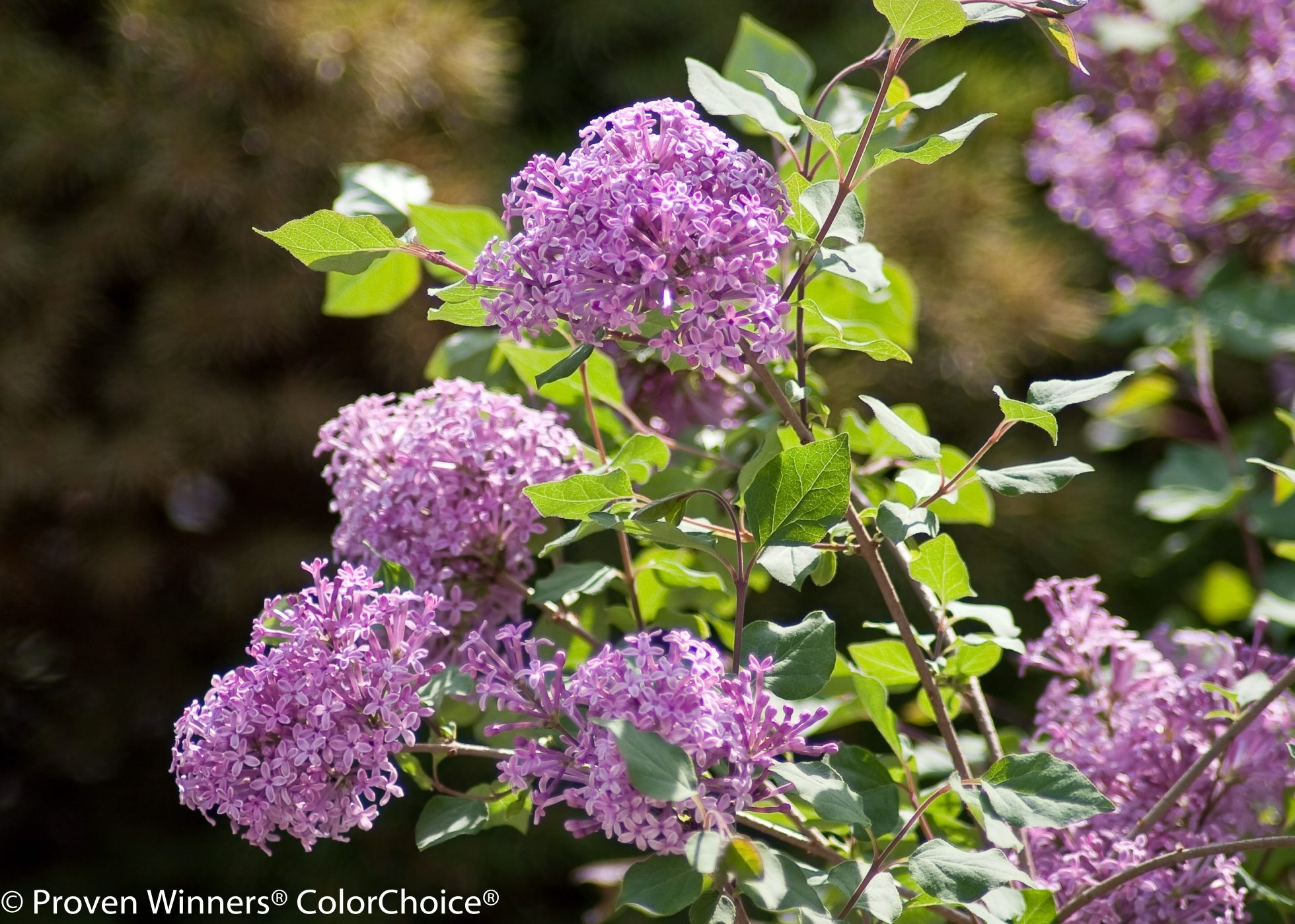 Recent shrub cultivars such as the lilac 'Bloomerang' were hybridized relying on the fact that spring flowering shrubs can bloom again if they have a long enough season, and this year, they probably did.