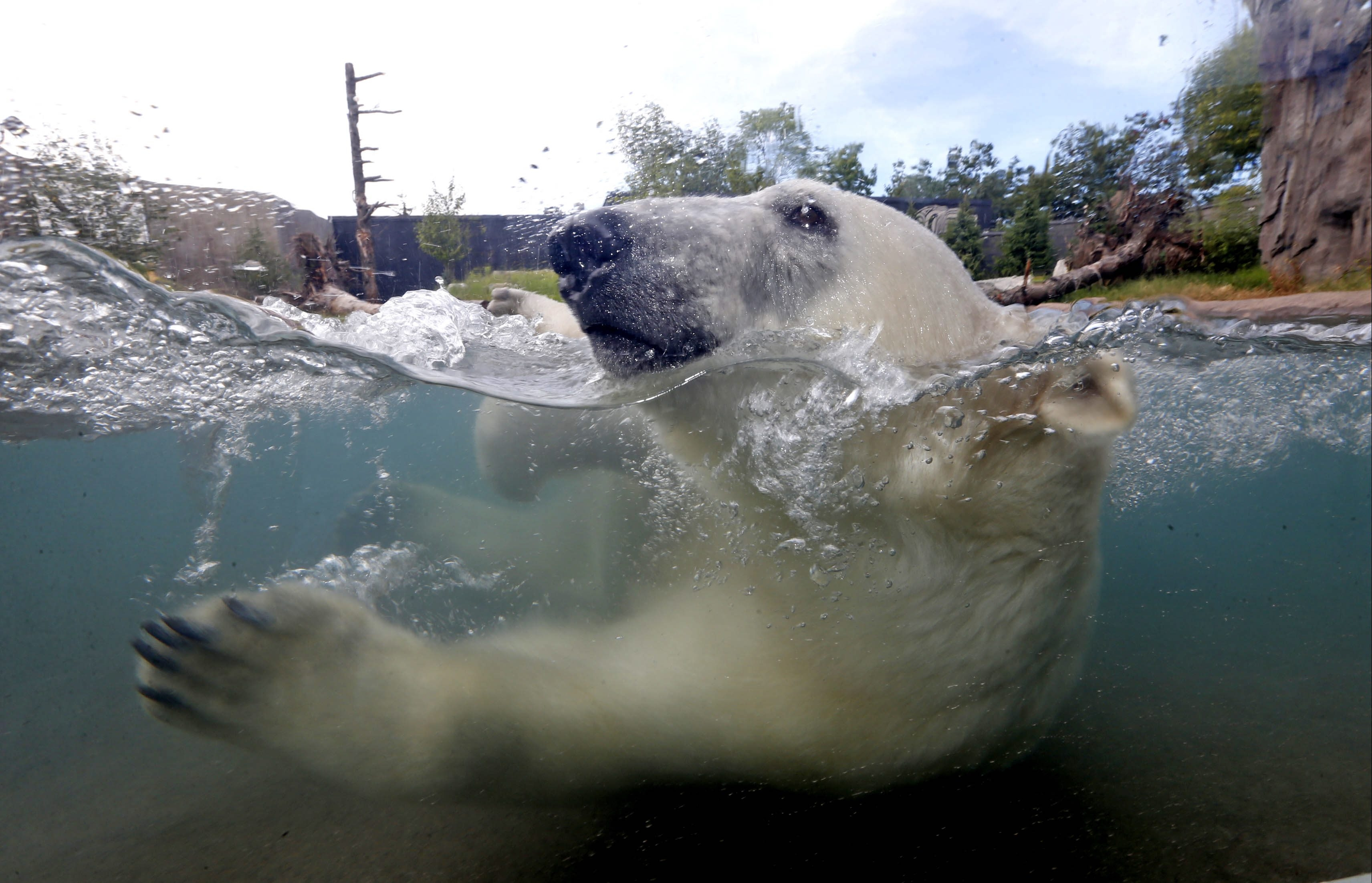 You can watch Polar Bears, like Luna,  swim and frolic  from a mere inches away. The Buffalo Zoo's new Arctic Edge is slated to open to the public on Saturday in Buffalo.  This was on Thursday, Sept. 10, 2015.  (Robert Kirkham/Buffalo News)