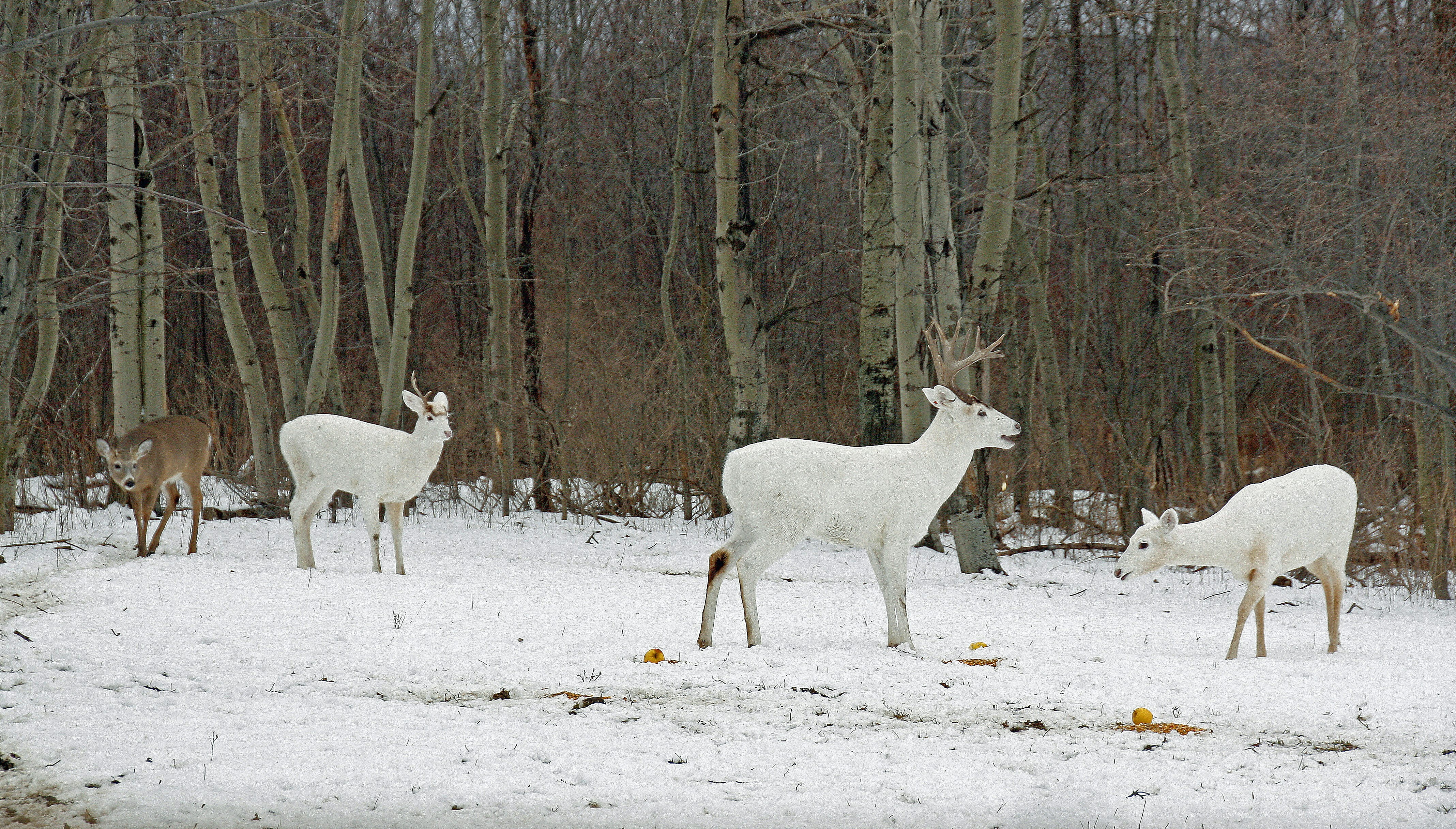 A herd of white deer in Seneca County could be in danger of death and disbursal, if high-fenced lands are opened to agriculture and commerce.