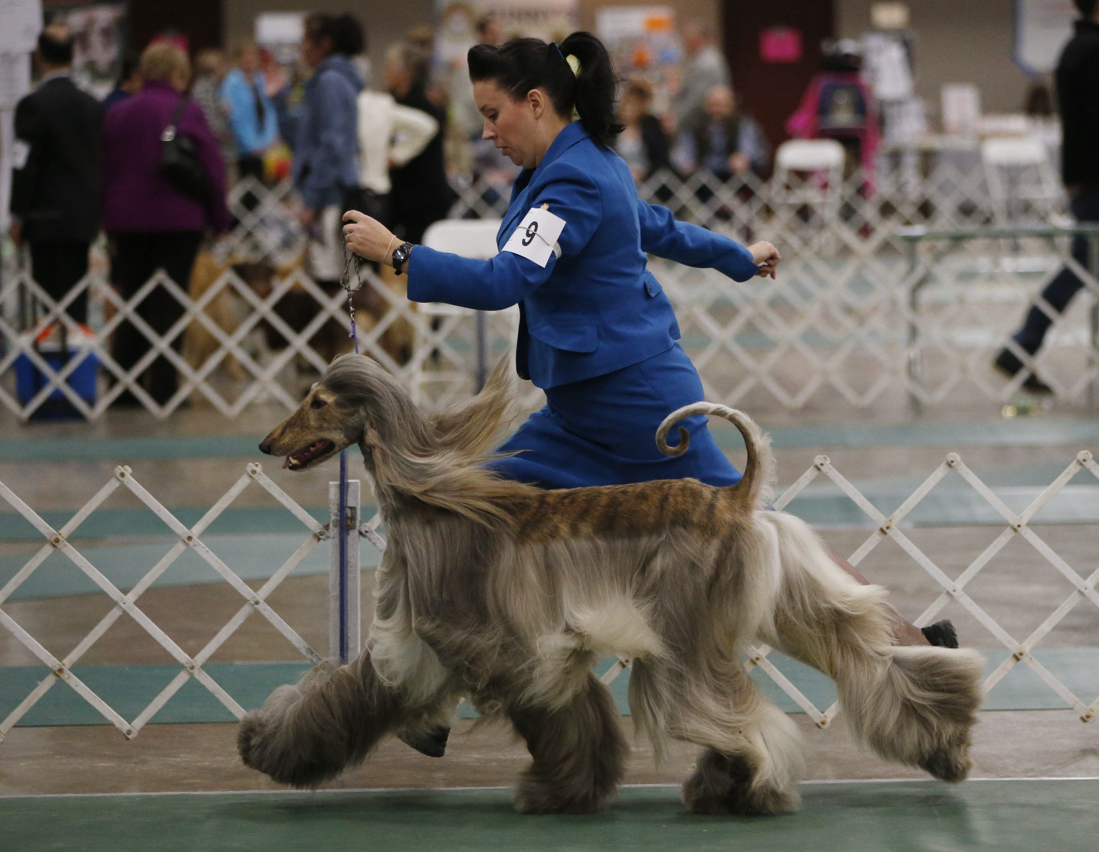 Handler Chris Pollen of Ottawa, Ont., jogs with Jagger, an Afghan hound, while competing on Saturday in the Nickel City Cluster Dog Show at the Hamburg Fairgrounds.