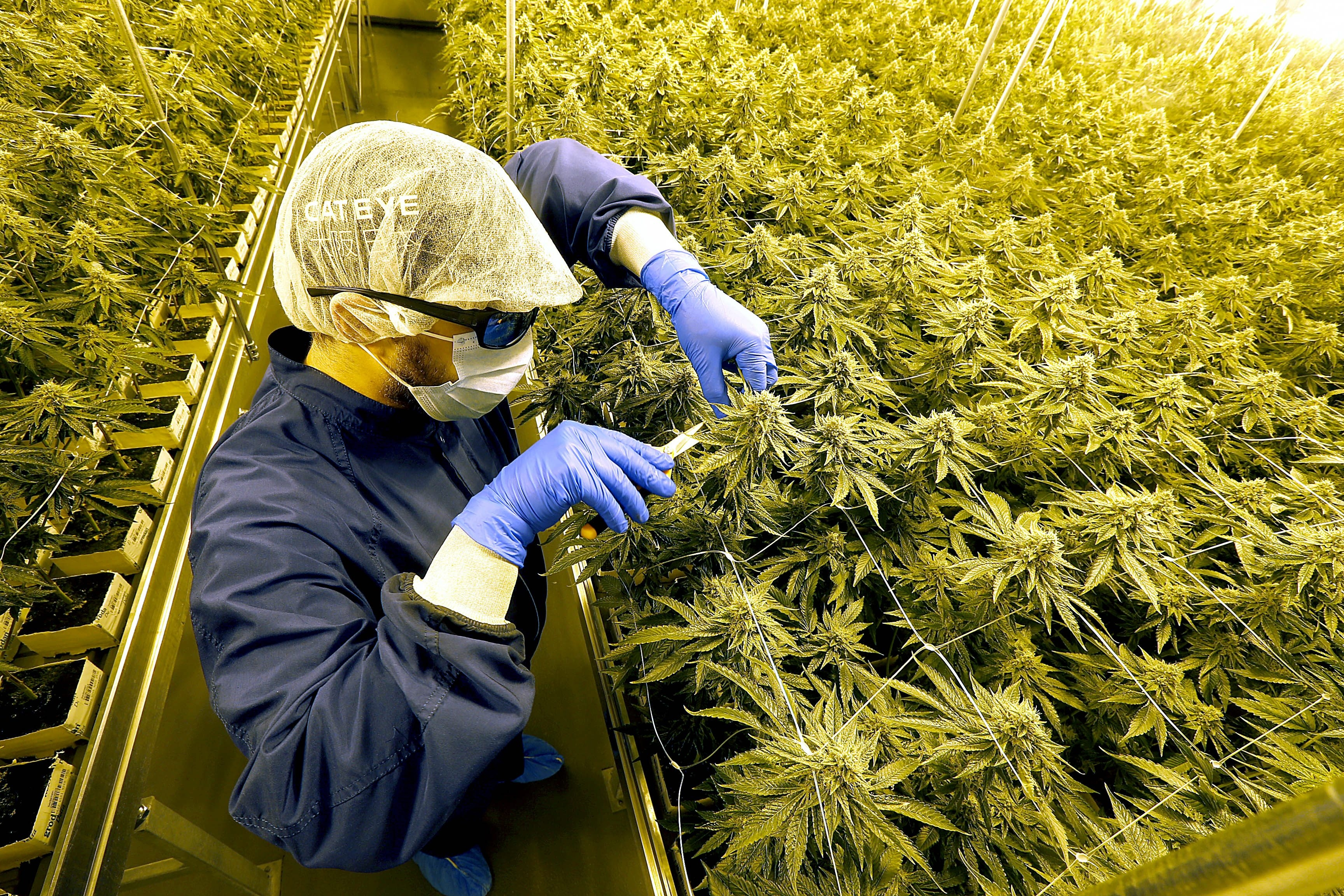 Cast in a golden glow and resembling mountain vistas in the high-peaks region of the Adirondacks, a fresh crop of marijuana reaches for the light in a growing room outfitted to near perfect conditions  at the Med Releaf Corporation's medical marijuana production and distribution facility in Markham, Ontario, Canada on Tuesday, June 16, 2015.  Worker Bart Zdanowicz, wearing protective UV filtering glasses to protect his exposure to the artificial sunlight, monitors and prunes the hearty plants. (Robert Kirkham/Buffalo News)