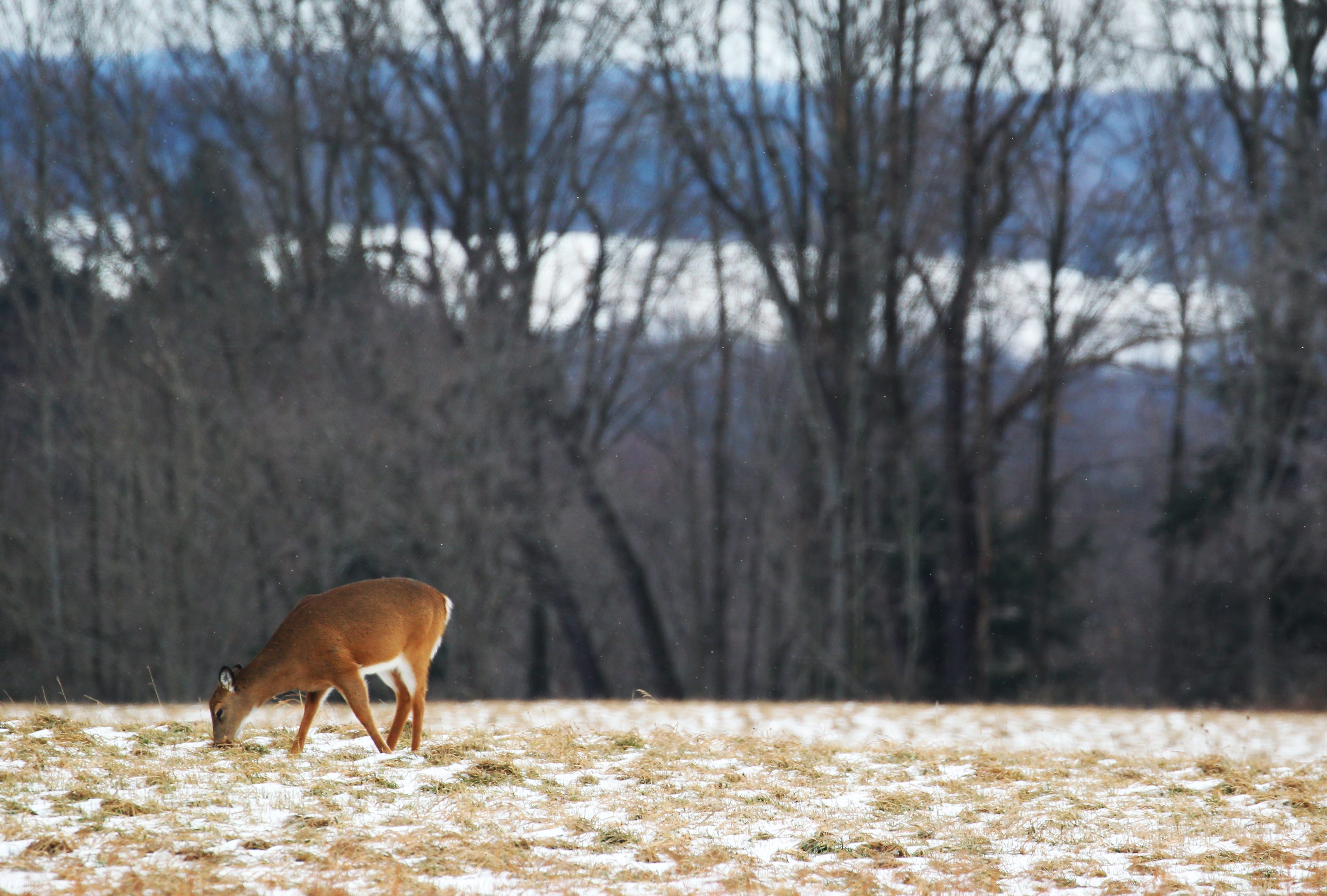 A deer feeds in a field on Knox Rd in East Aurora Wednesday, January 20, 2016.   (Mark Mulville/Buffalo News)