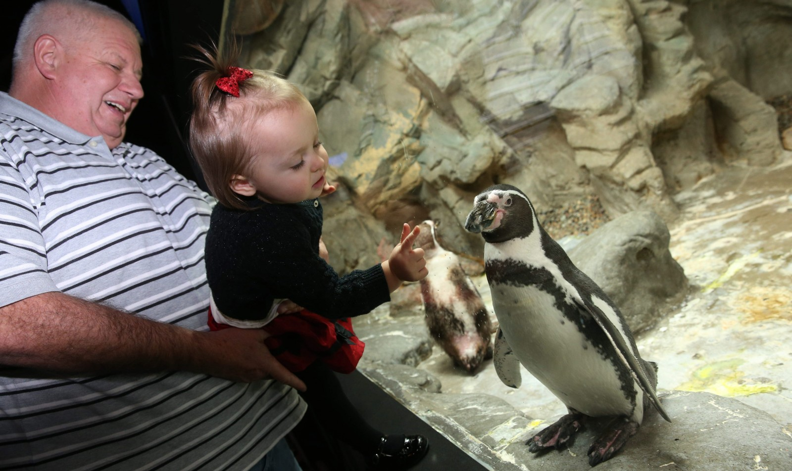 John Vaughan of Buffalo helps his granddaughter, Bella Vaughan of Philadelphia, get a close-up view of the penguins at the Aquarium of Niagara.  (Sharon Cantillon/Buffalo News)