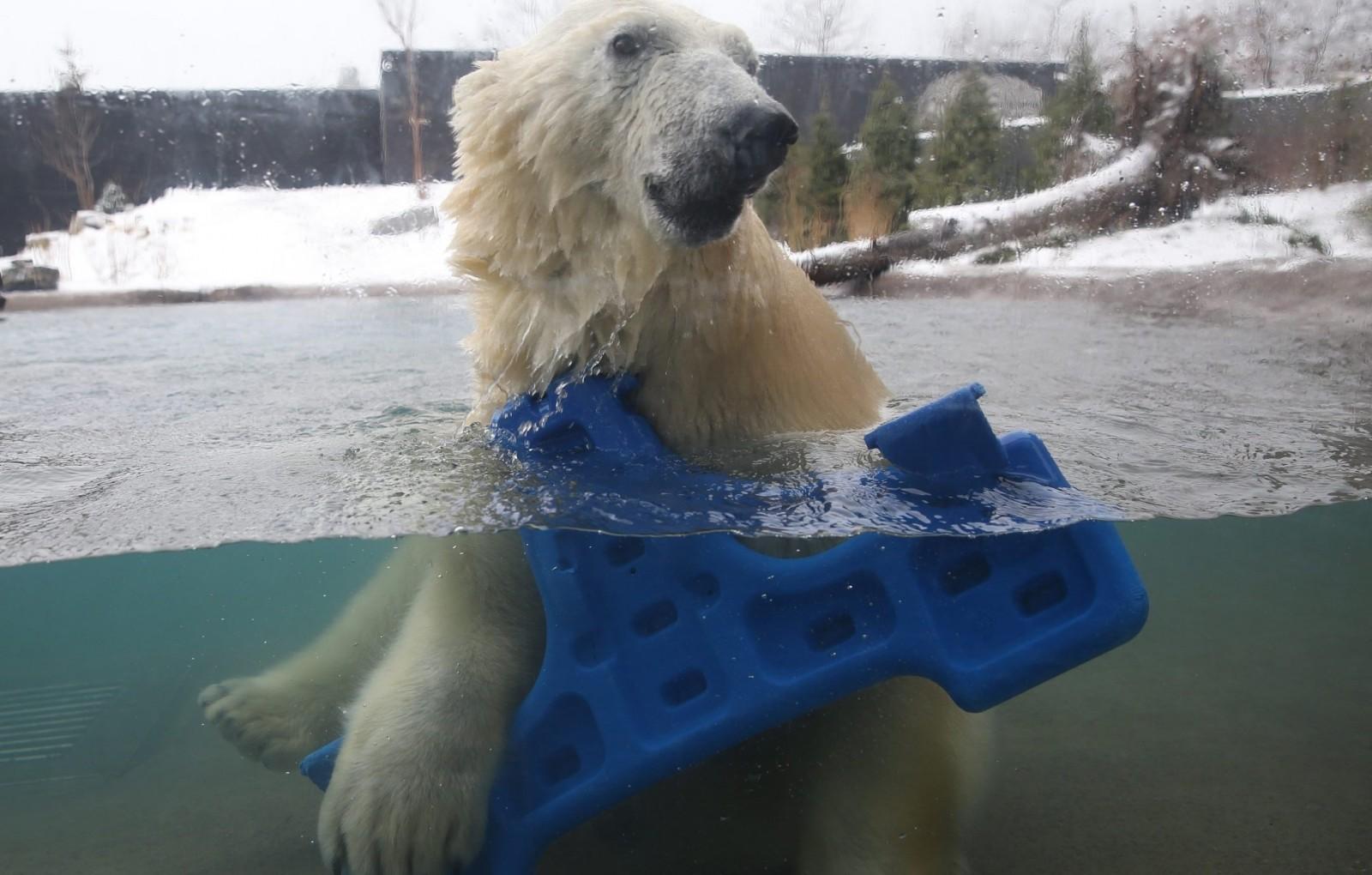 Polar bear Luna in her home at the Arctic Edge exhibit at the Buffalo Zoo.  (Sharon Cantillon/Buffalo News)