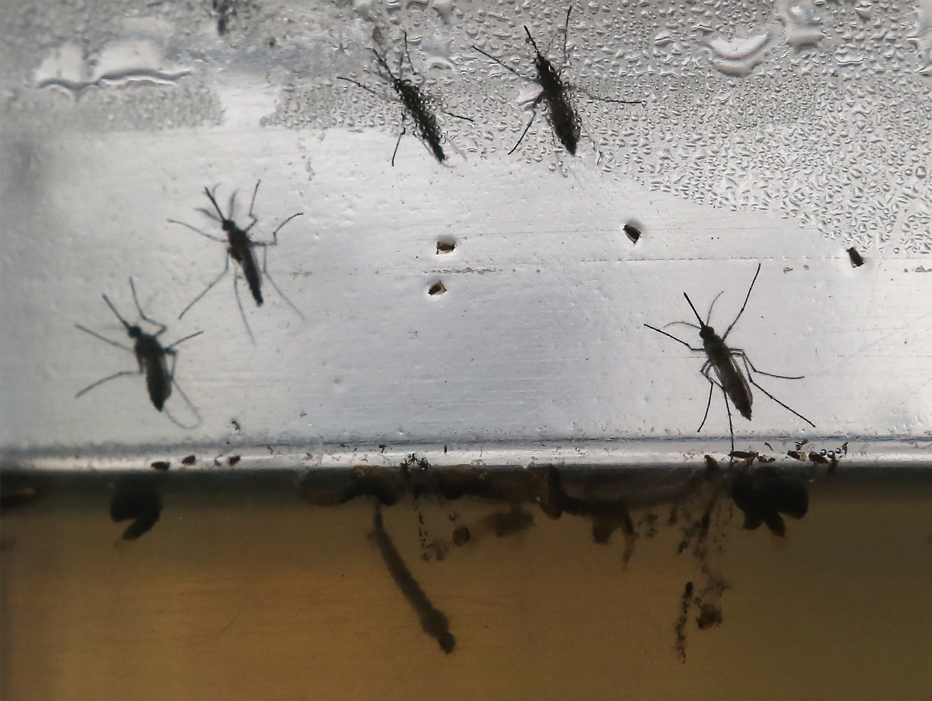 Zika virus is transmitted by the Aedes aegypti mosquito, shown here in various stages of development. The mosquito is not common in the Buffalo Niagara region.