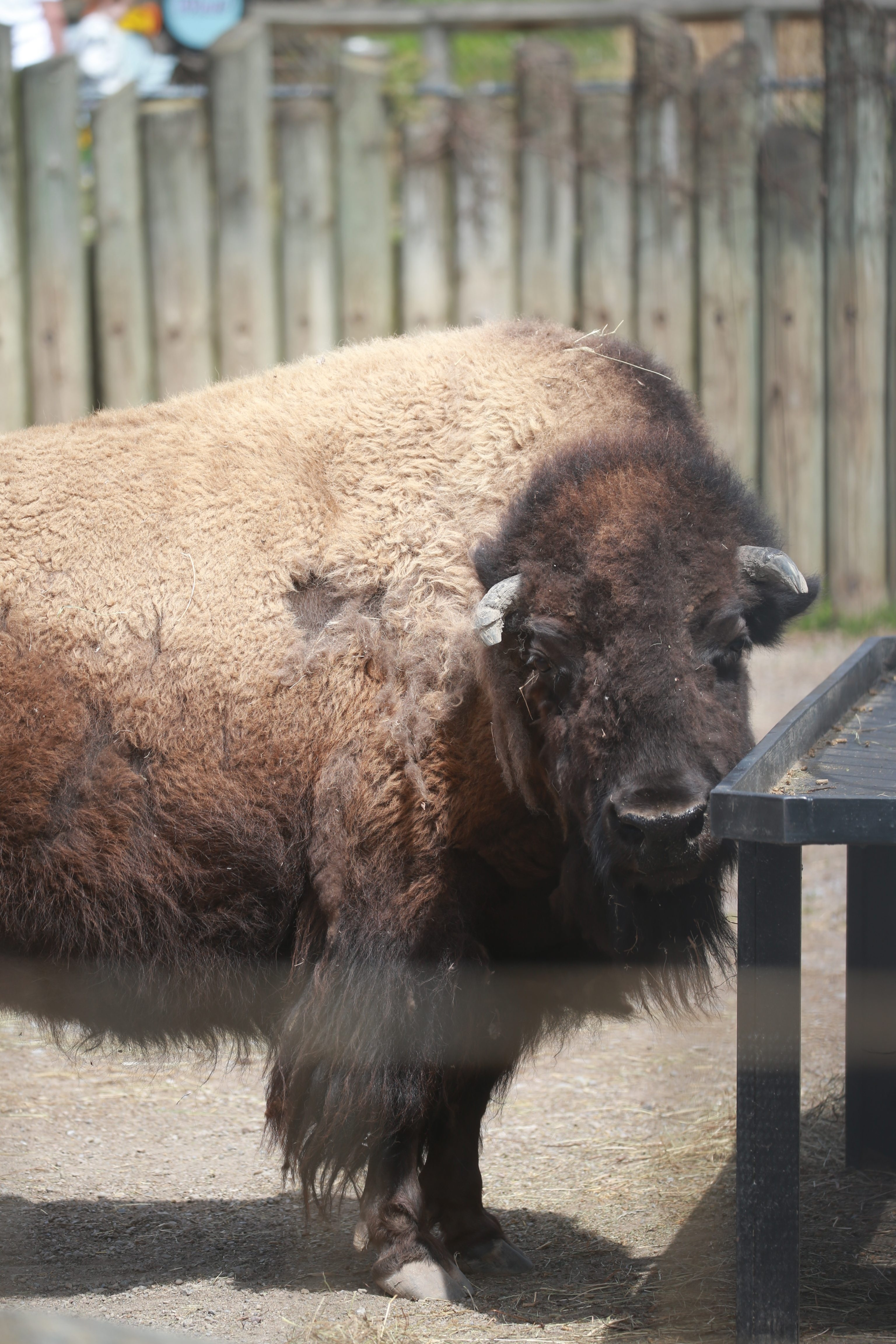 Bison are a big part of American history, said Buffalo Zoo curator Malia Somervile.