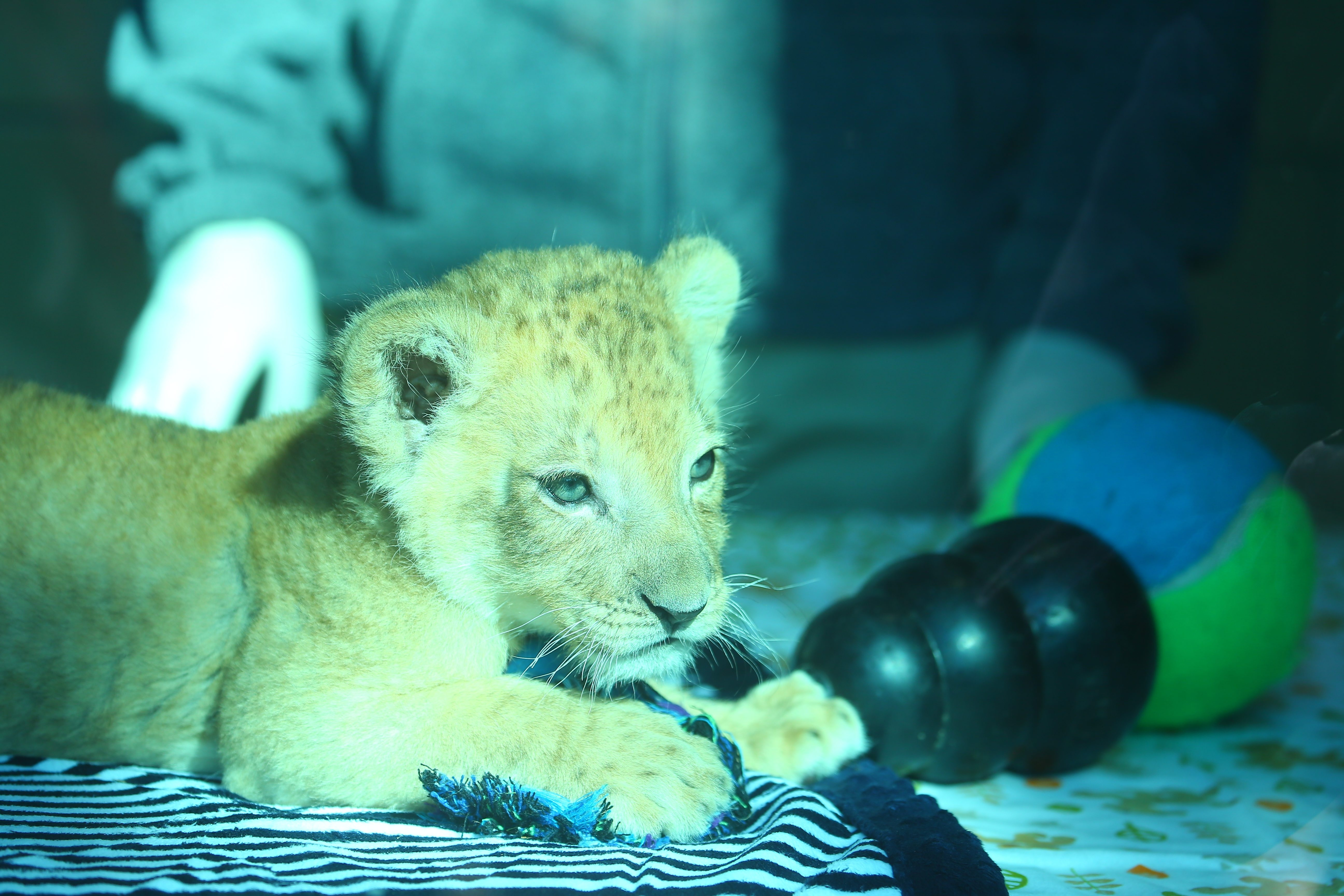 The public won't see much of the Buffalo Zoo's 7-week-old lion cub for a few months.