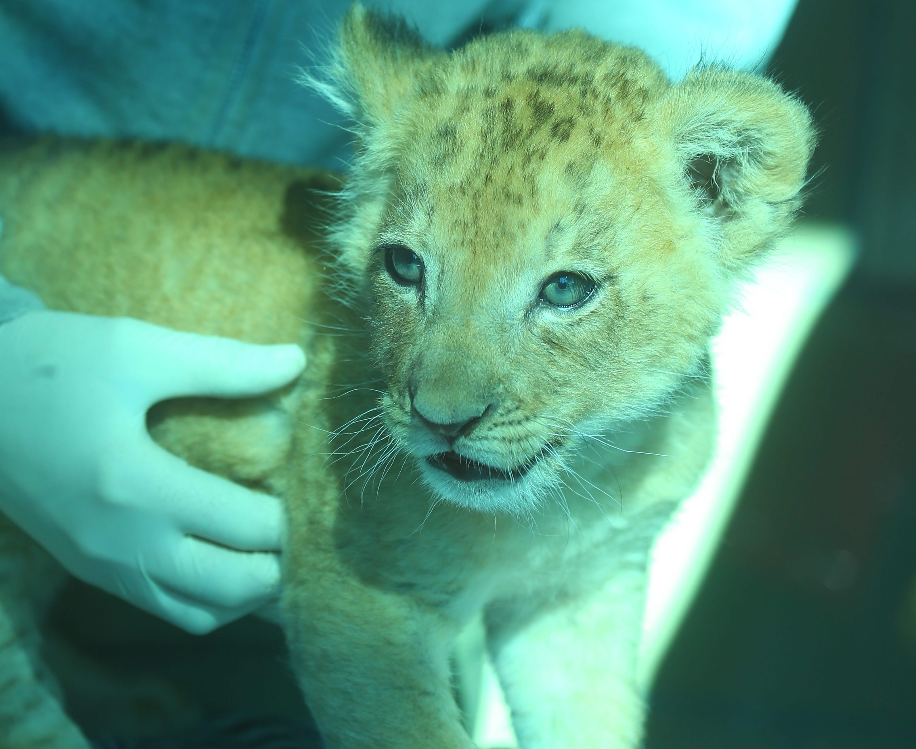 An African lion cub born on March 5 was introduced at the Buffalo Zoo on Wednesday April 27, 2016. The new lion will not be on display for several weeks so that he has time to bond with his family. (John Hickey/Buffalo News)
