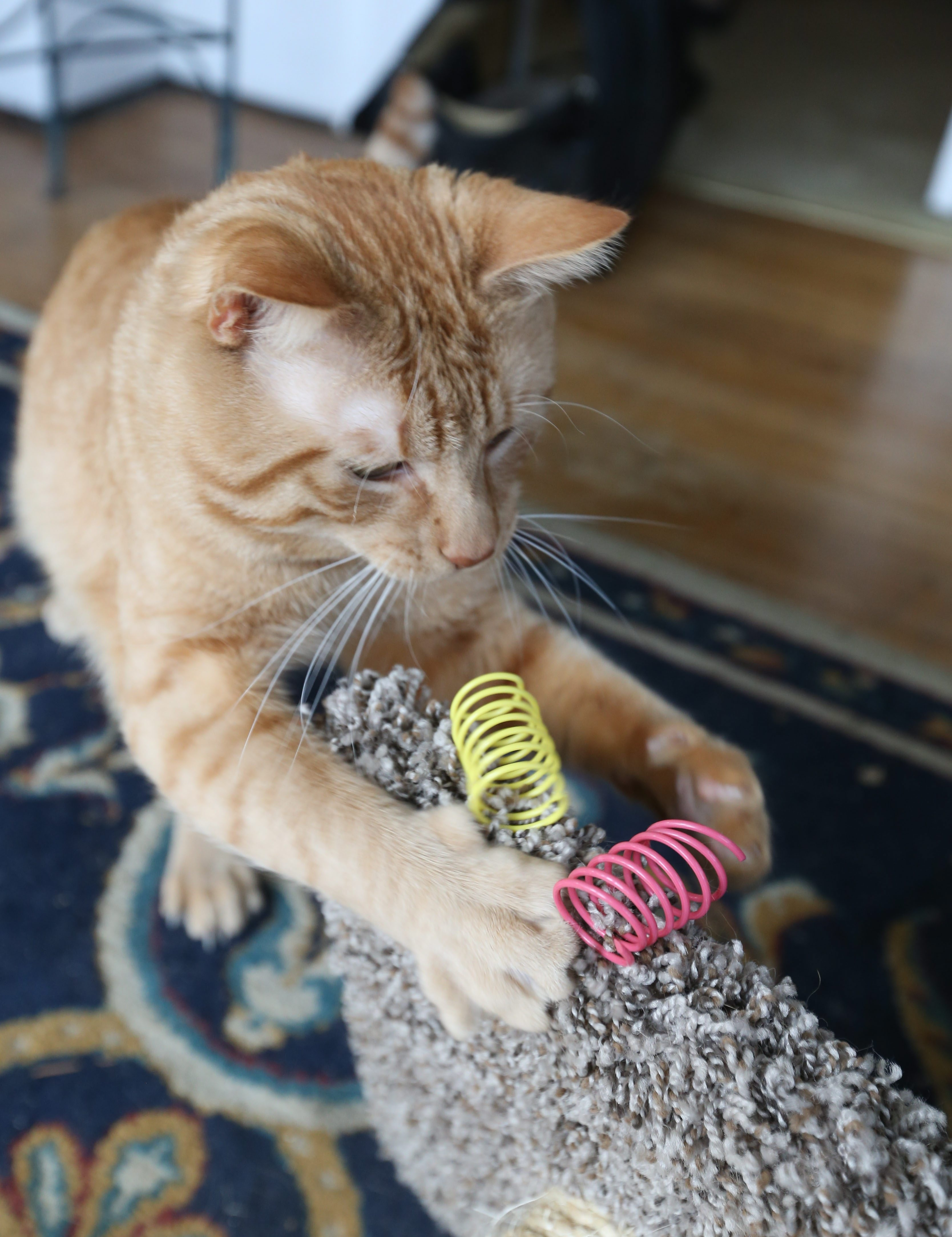 Mary Kunz Goldman, a first-time pet owner, is enjoying the rambunctious personality of her cat Jeoffry, Thursday, March 24, 2016.  The simplest toys often are the best.  Jeoffry loves the spirals.  (Sharon Cantillon/Buffalo News)