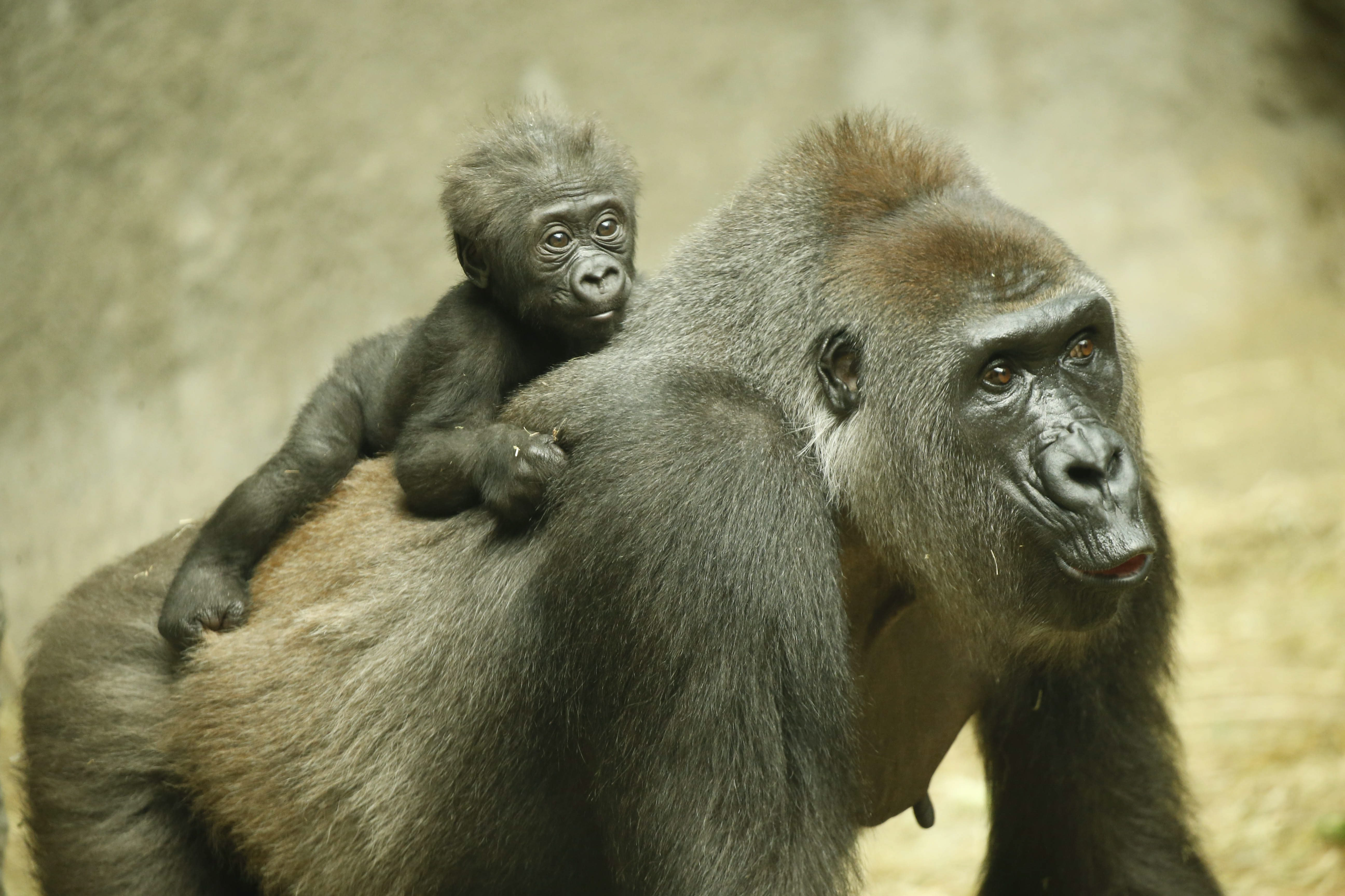 Kayin, a baby gorilla born on Jan. 10, clings to the back of his mother, Sidney, in the gorilla house at the Buffalo Zoo, Friday, May 6, 2016.  (Derek Gee/Buffalo News)