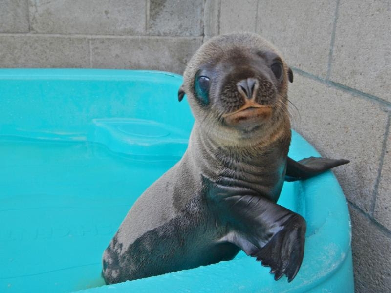Isabel, a 2-year-old sea lion pup, will perform her first solo show at the Aquarium of Niagara on June 17. (Aquarium of Niagara)