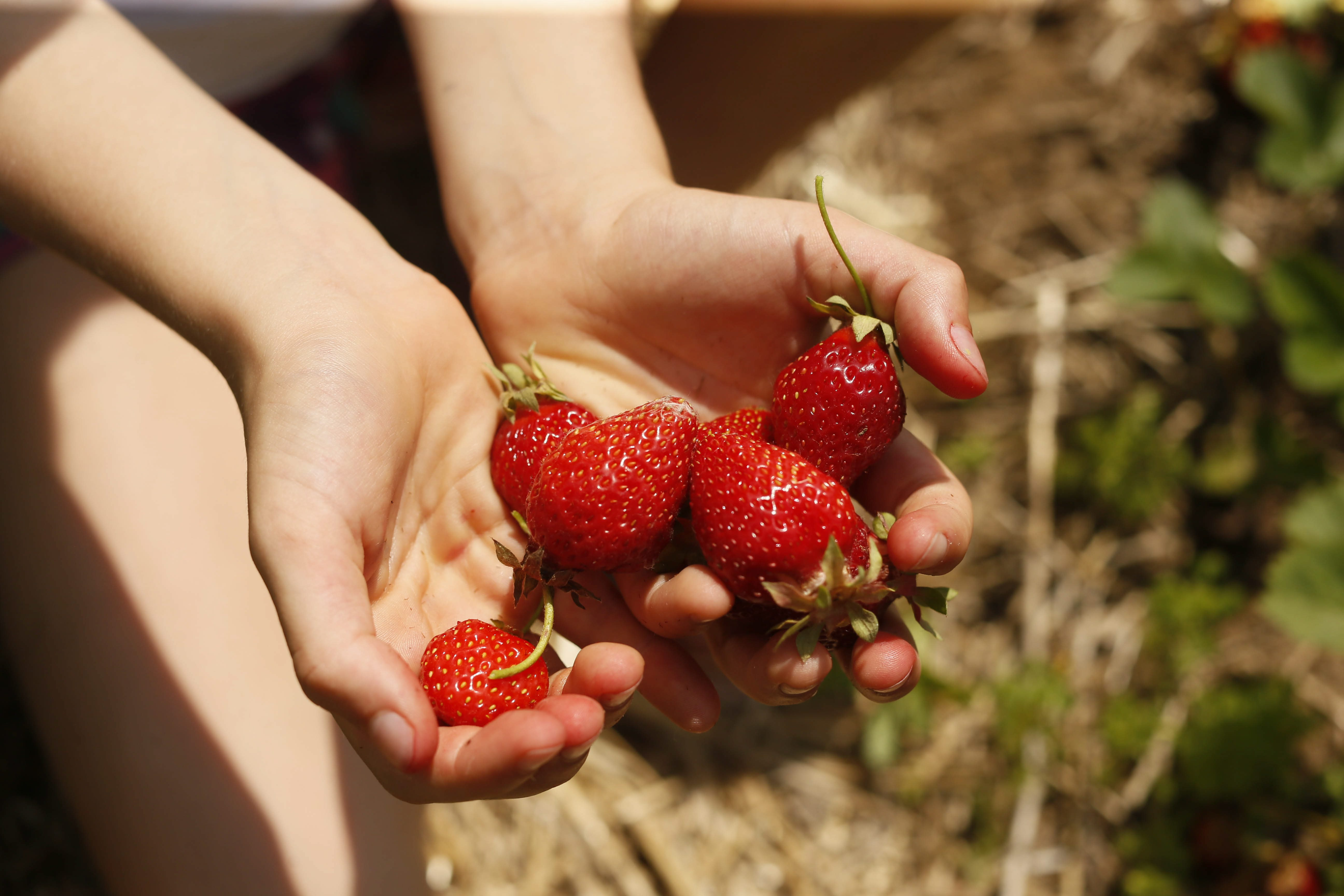 There are many places locally where you can pick  your own fruit, including strawberries.  (Derek Gee/Buffalo News file photo)