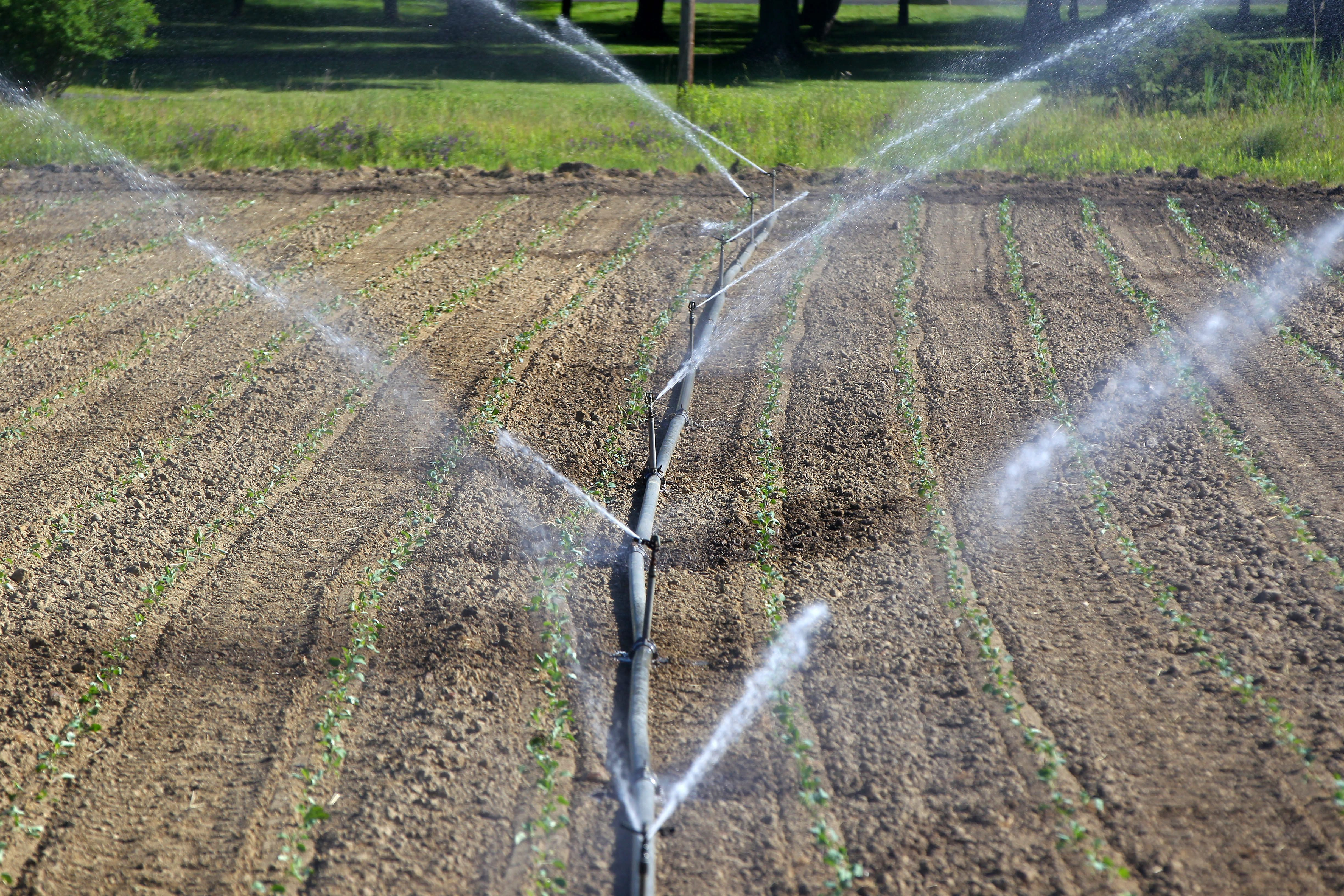 Plants get some much-needed water at Draudt's Farm in Hamburg earlier this month. (Mark Mulville/News file photo)