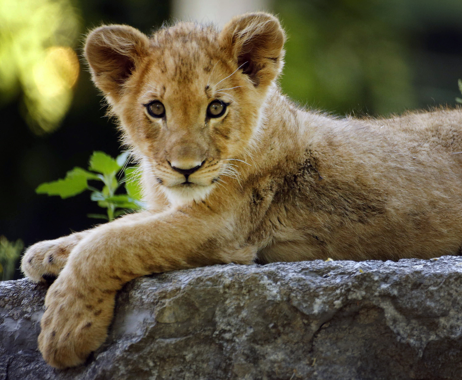 Tobias, the 15-month-old lion cub, lays down in the lion habitat as he makes his public debut at the Buffalo Zoo, Sunday, June 19, 2016.  (Derek Gee/Buffalo News)