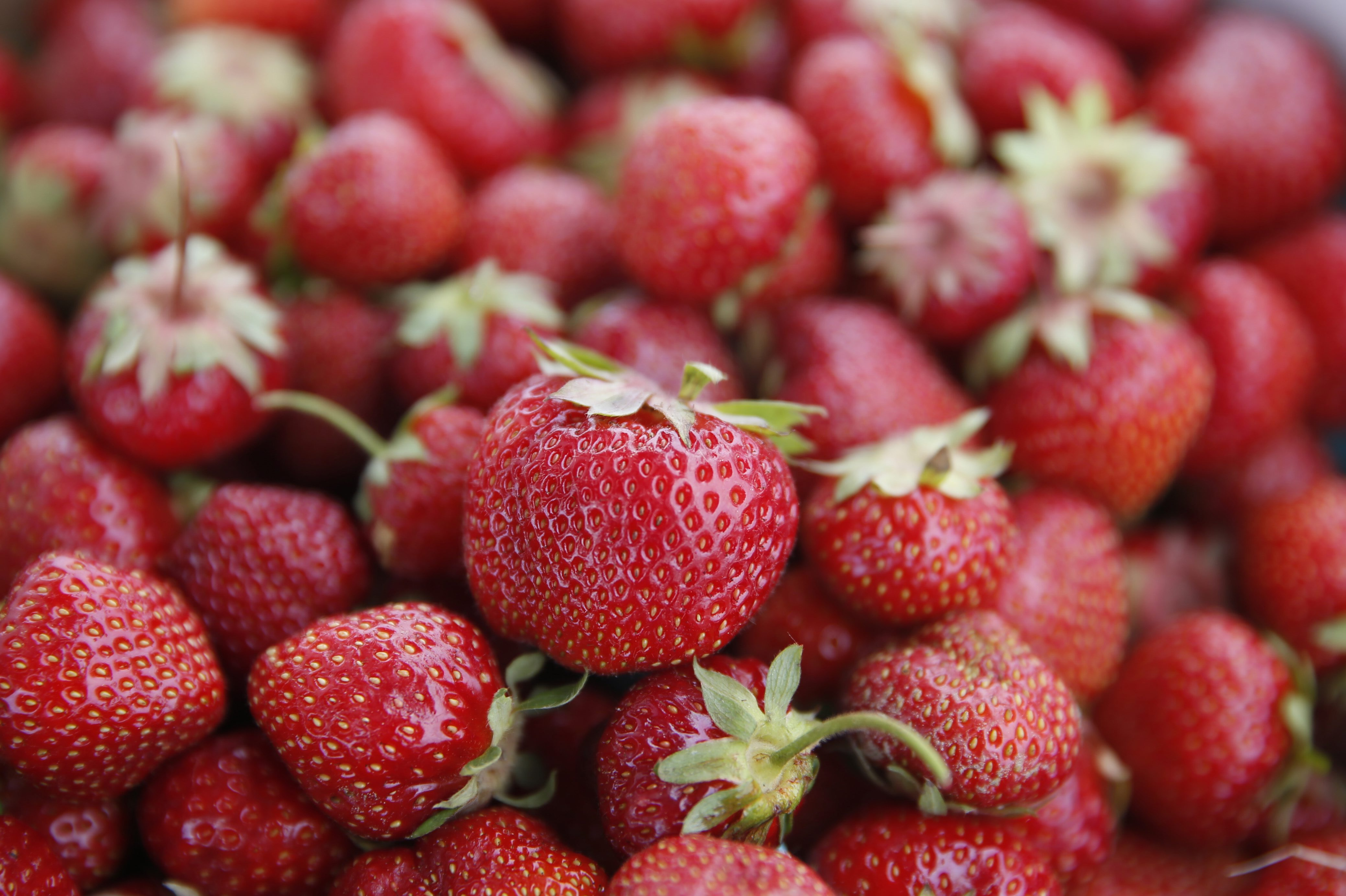 Strawberry's at Greg's U-Pick Farm in Clarence Center,NY  on Monday, June 20, 2016. (Harry Scull Jr./Buffalo News)