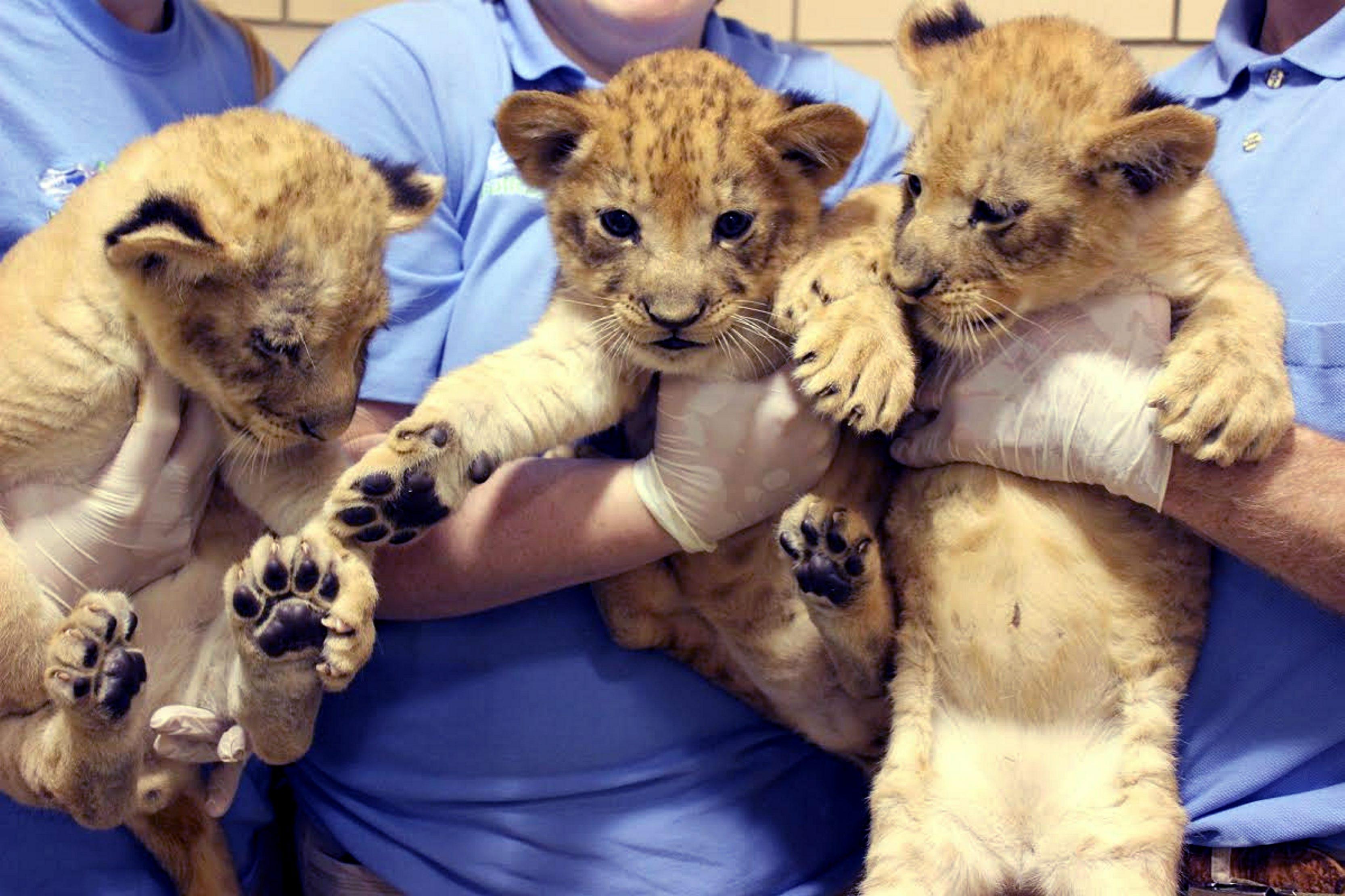 Three more lion cubs born at the Buffalo Zoo