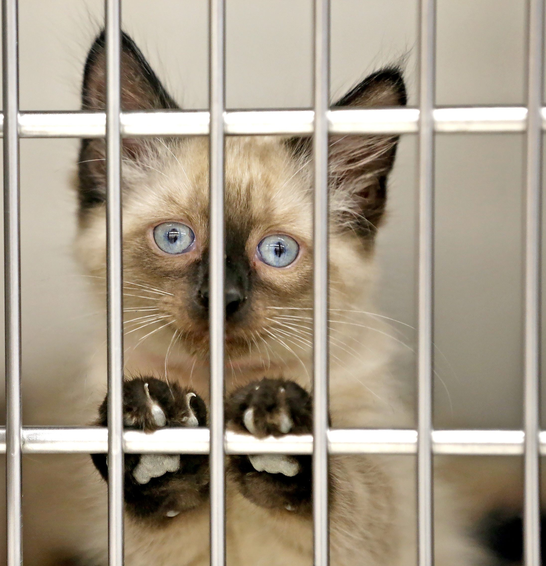 A 2-month-old Siamese mixed stray peers through the bars of its cage at the Erie County SPCA.