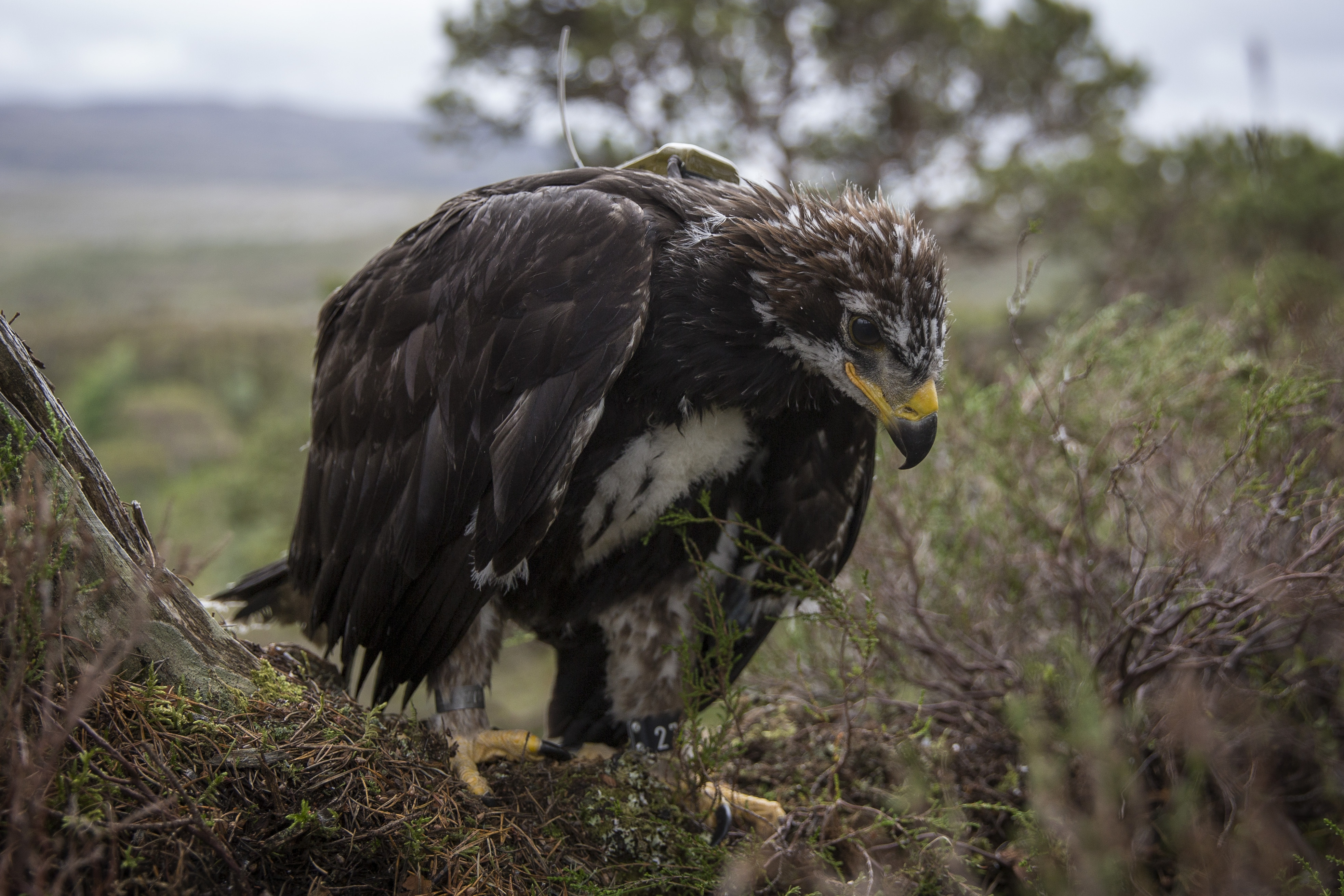 A 7½-week old Golden Eagle (Getty Images)